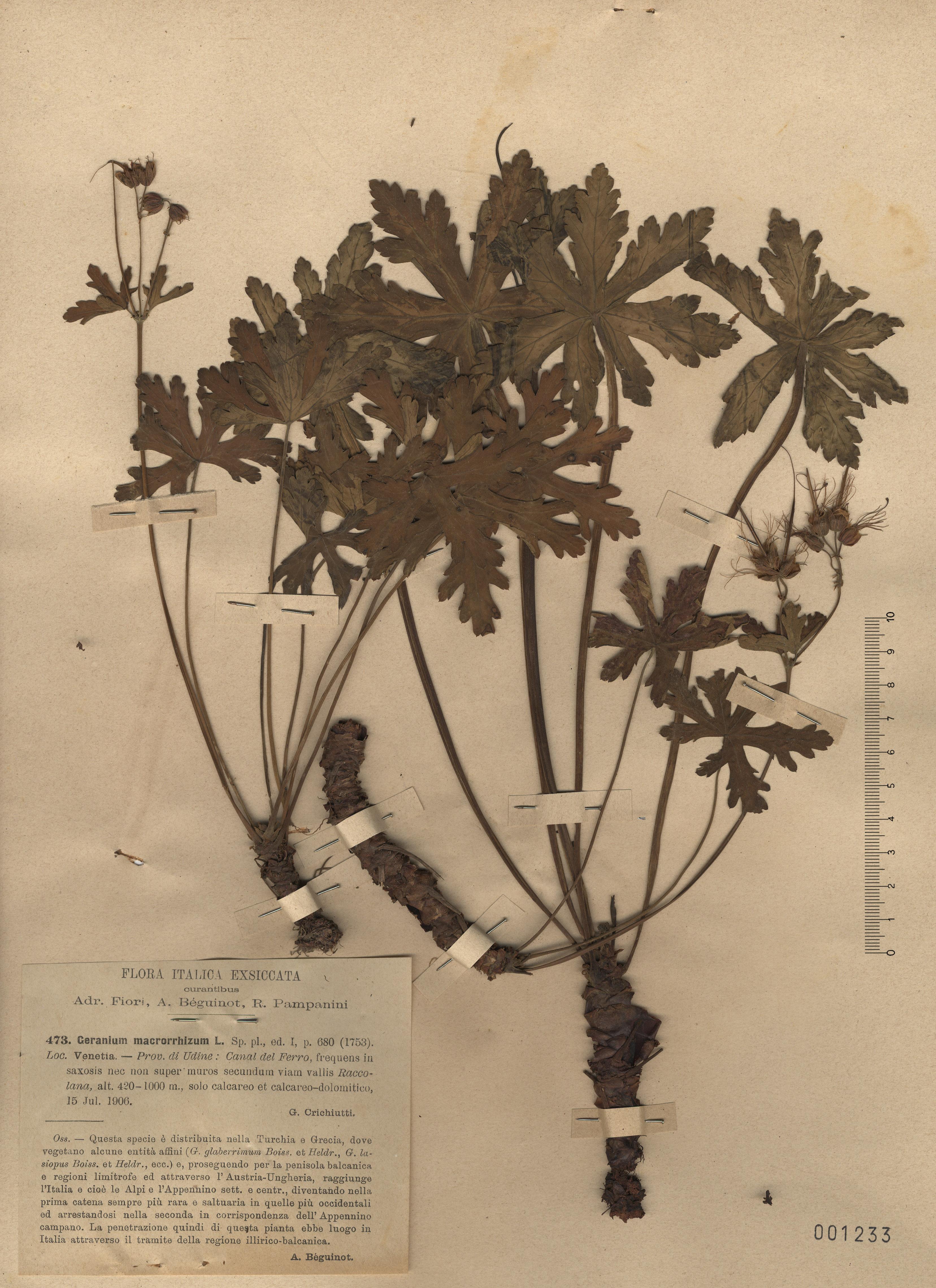 © Hortus Botanicus Catinensis - Herb. sheet 001233<br>