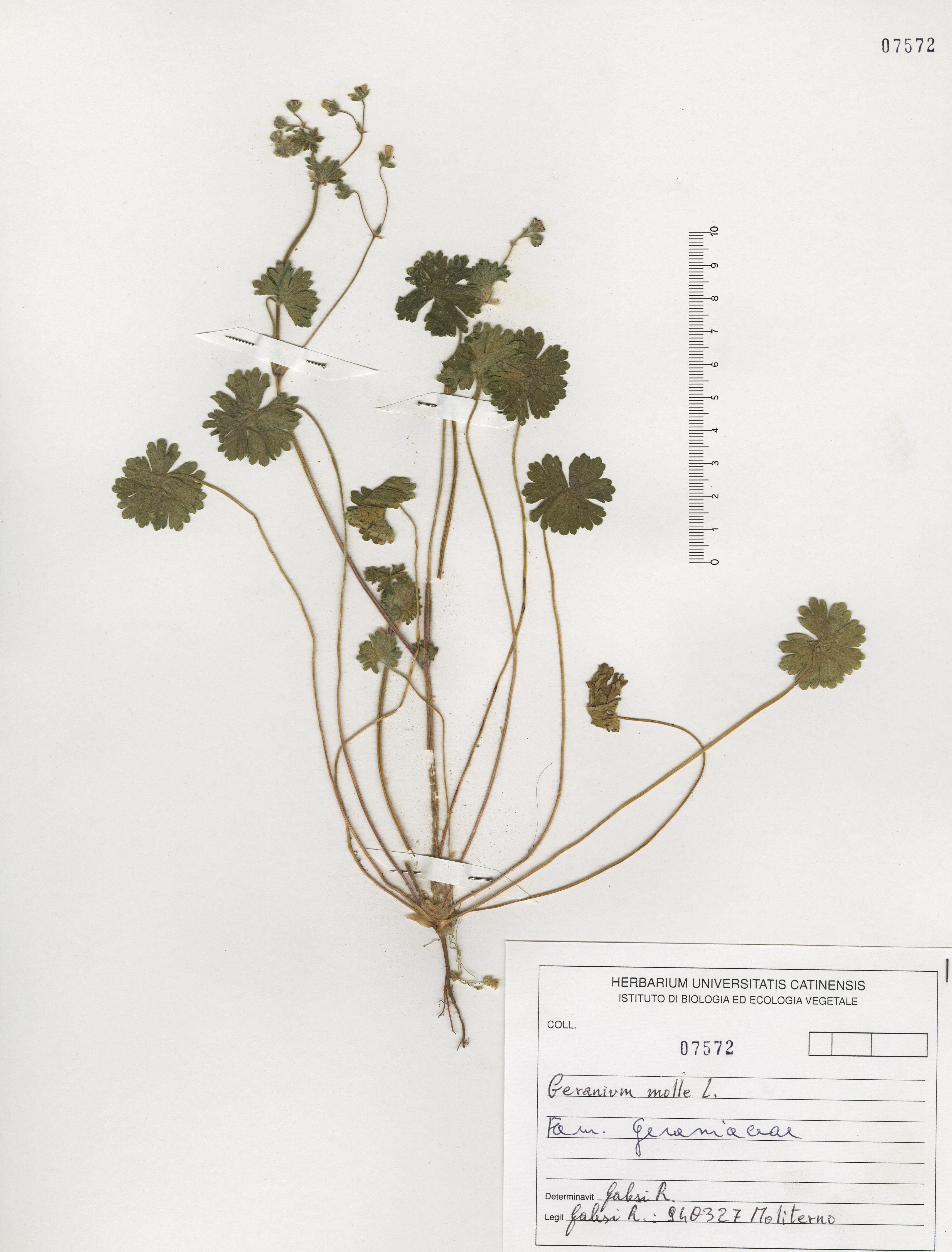 © Hortus Botanicus Catinensis - Herb. sheet 107572<br>