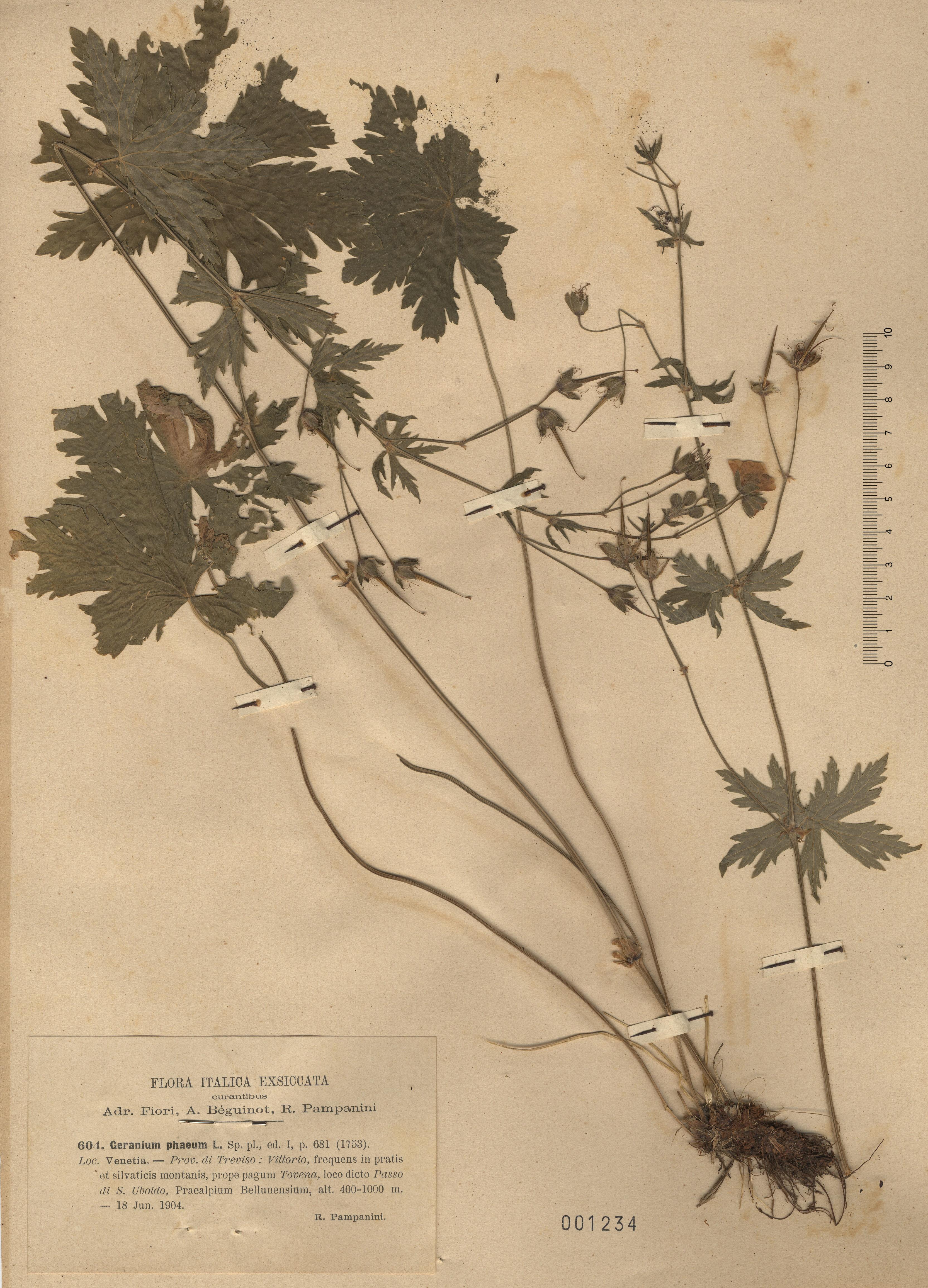 © Hortus Botanicus Catinensis - Herb. sheet 001234<br>