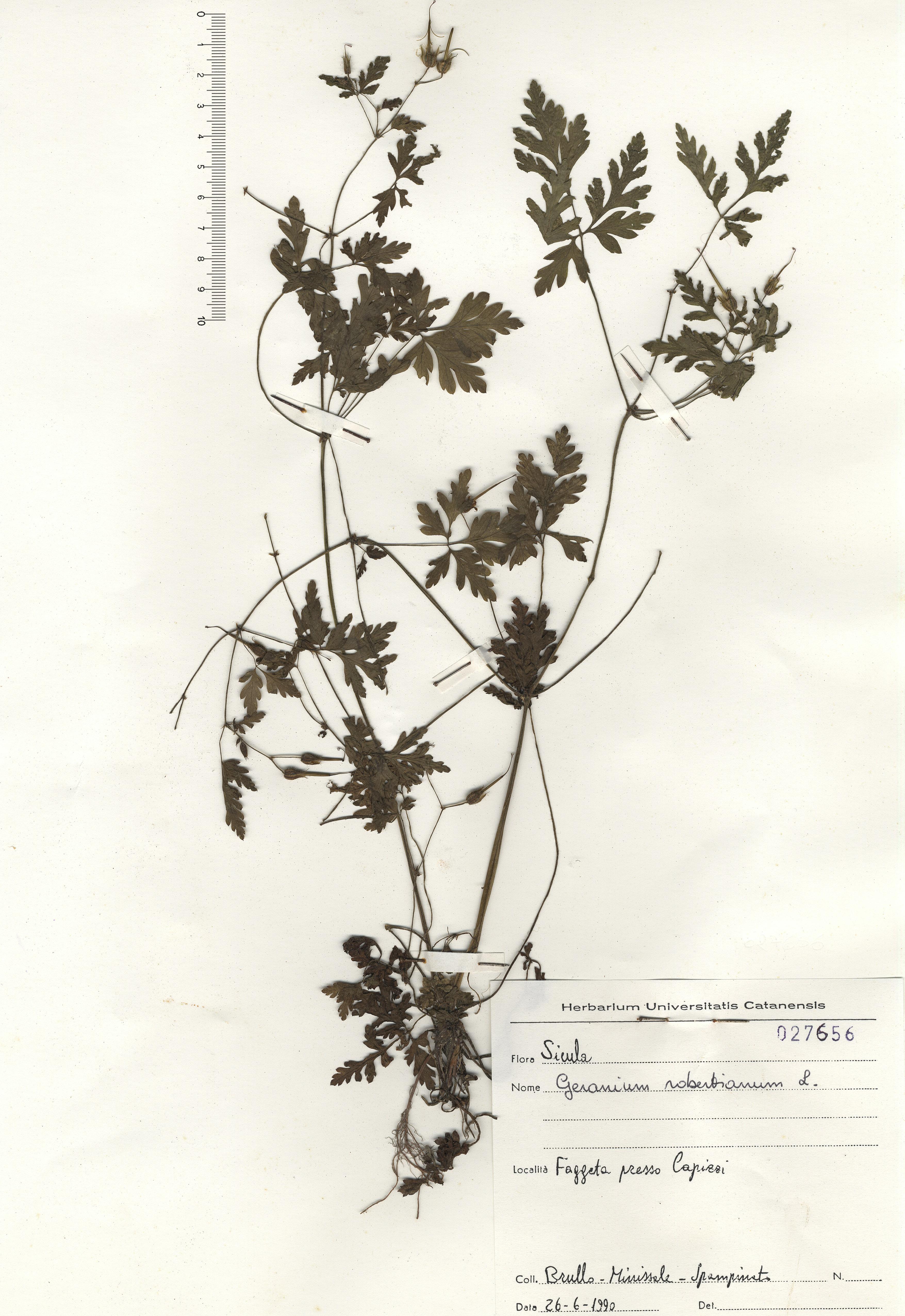 © Hortus Botanicus Catinensis - Herb. sheet 027656<br>
