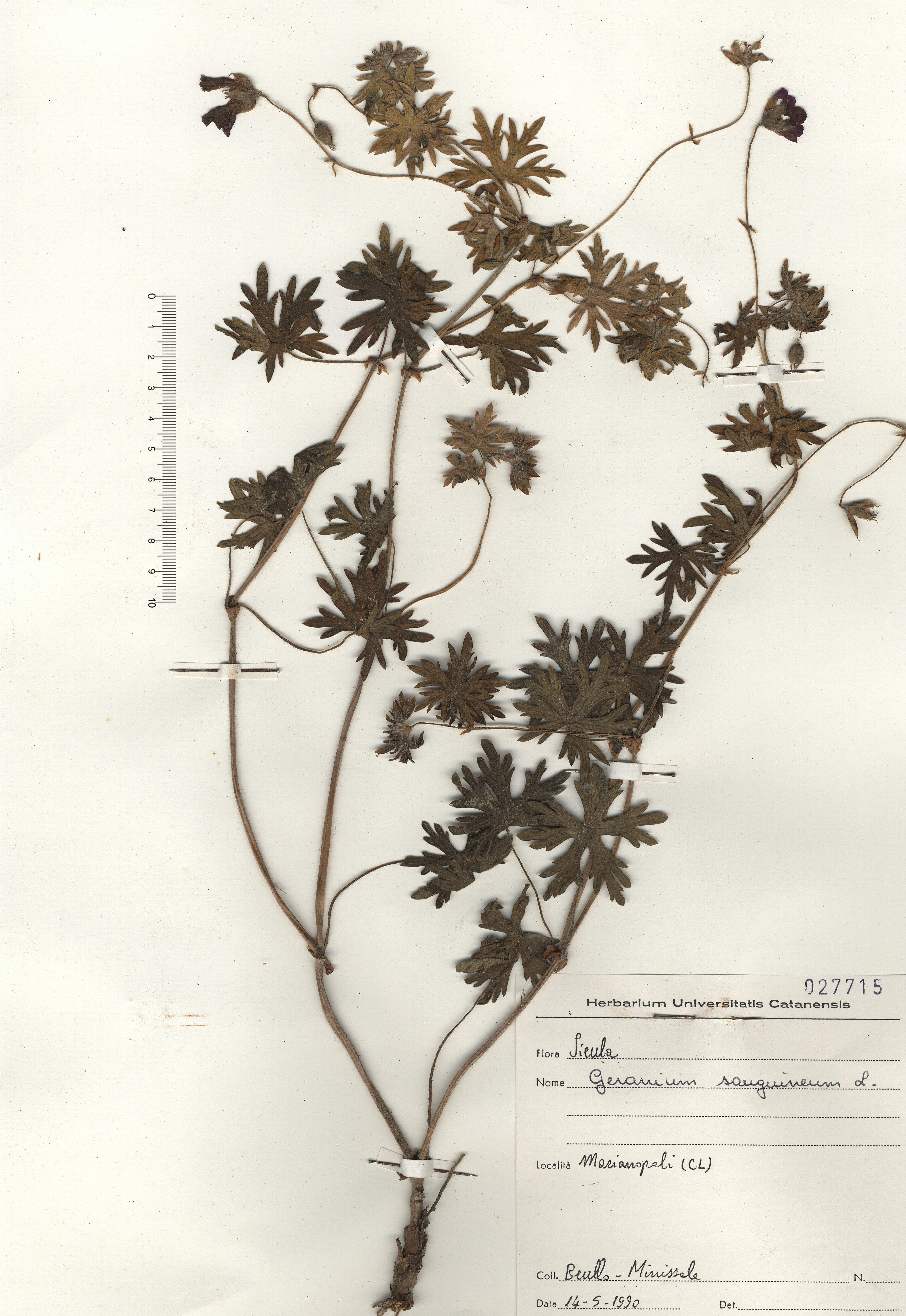 © Hortus Botanicus Catinensis - Herb. sheet 027715<br>