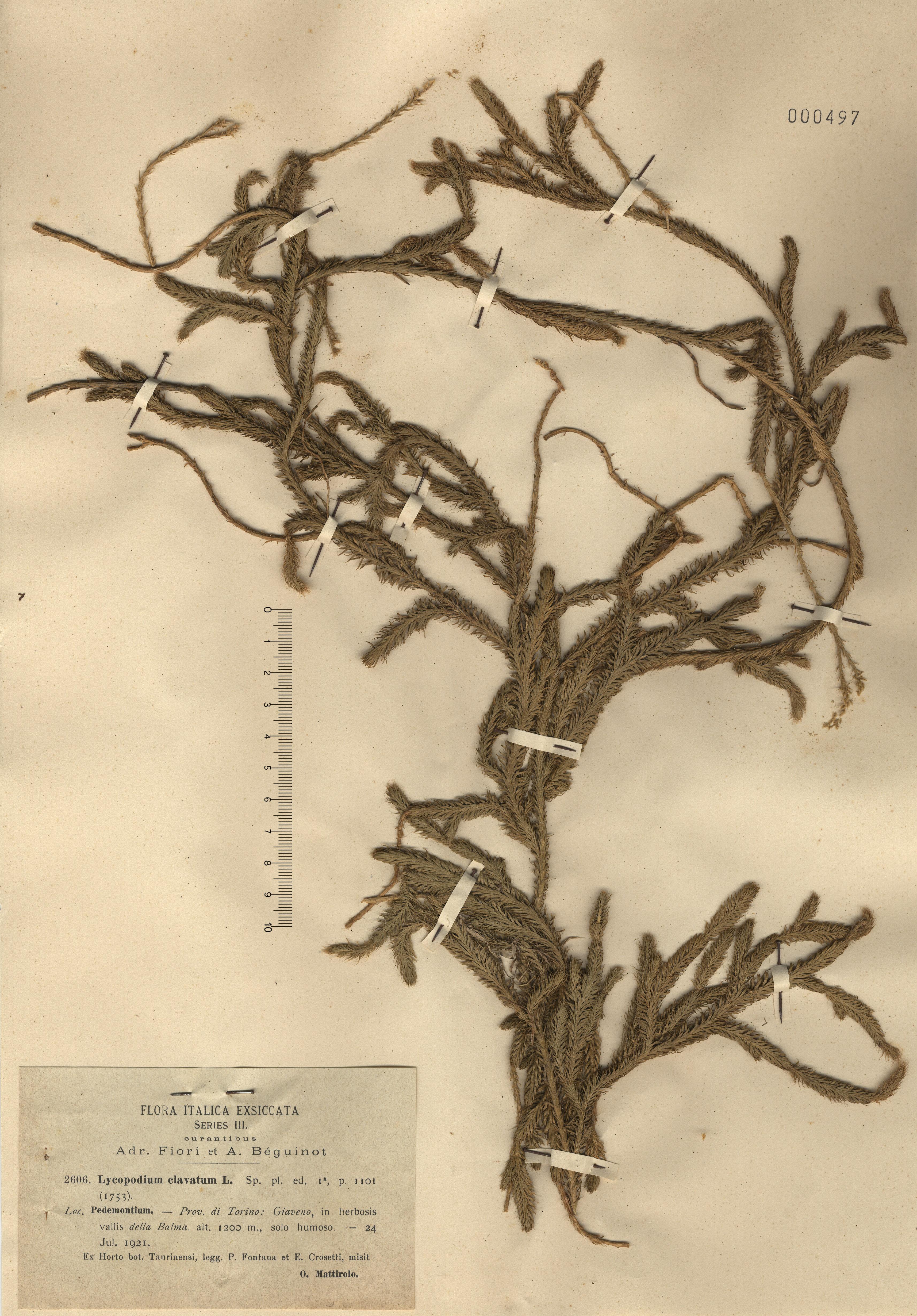 © Hortus Botanicus Catinensis - Herb. sheet 000497<br>