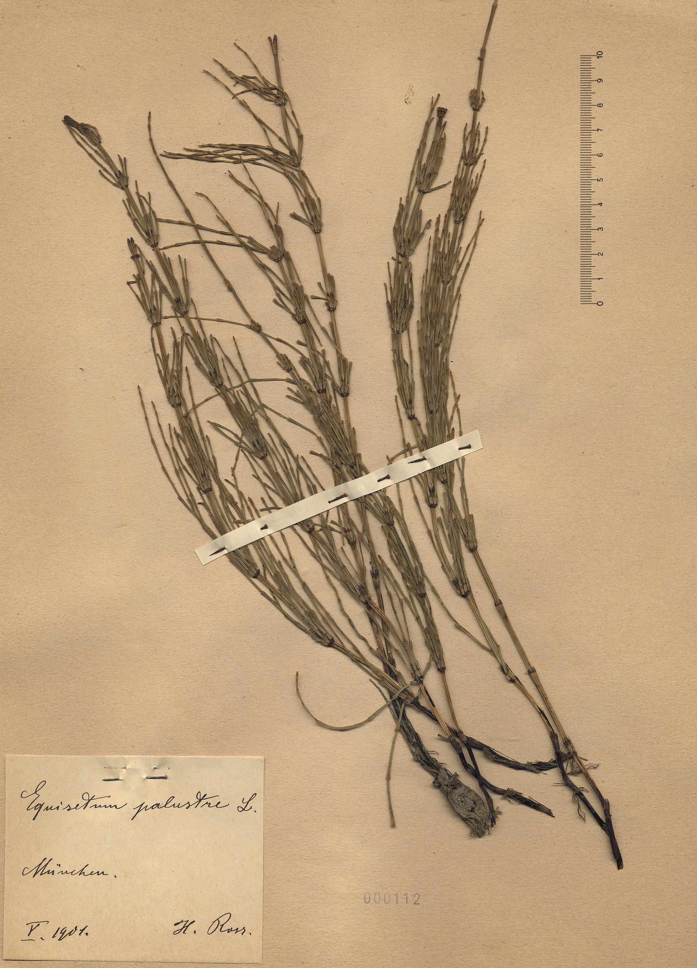 © Hortus Botanicus Catinensis - Herb. sheet 000112<br>