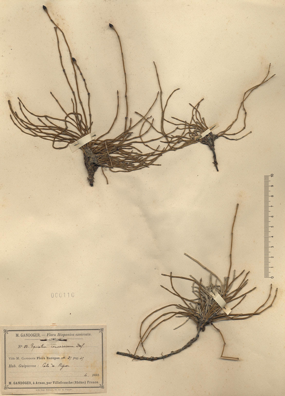 © Hortus Botanicus Catinensis - Herb. sheet 000110<br>
