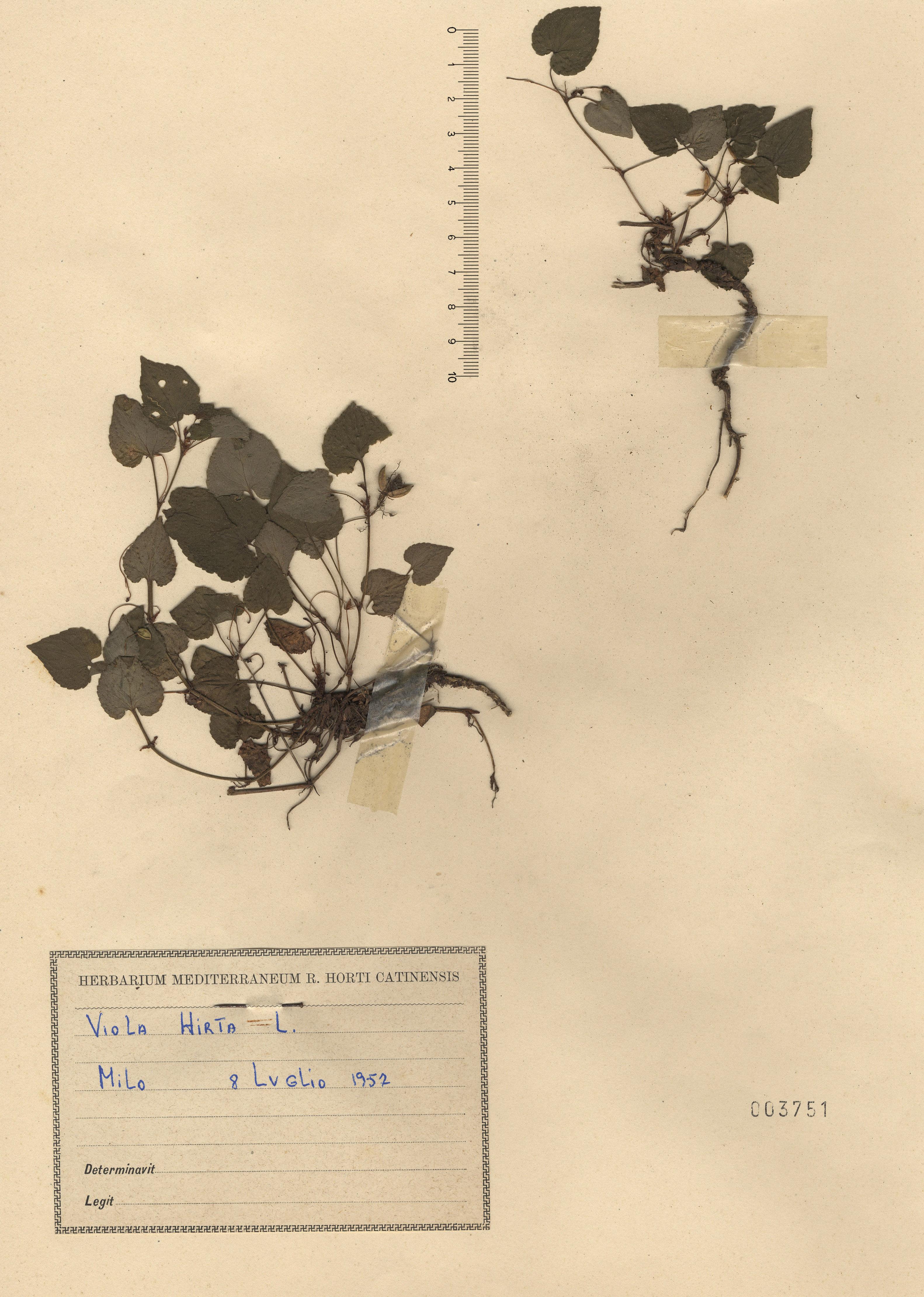 © Hortus Botanicus Catinensis - Herb. sheet 003751<br>