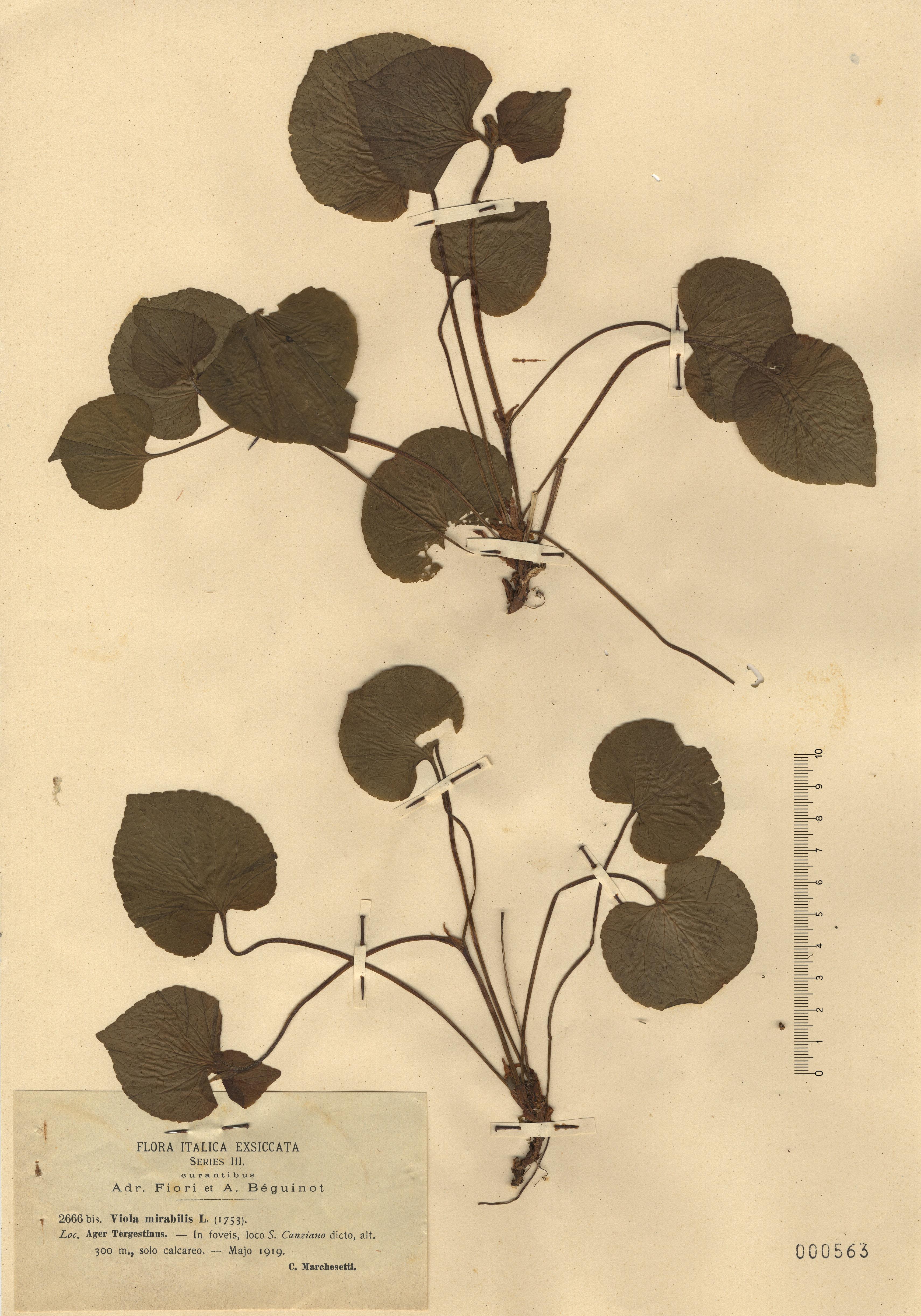 © Hortus Botanicus Catinensis - Herb. sheet 000563<br>