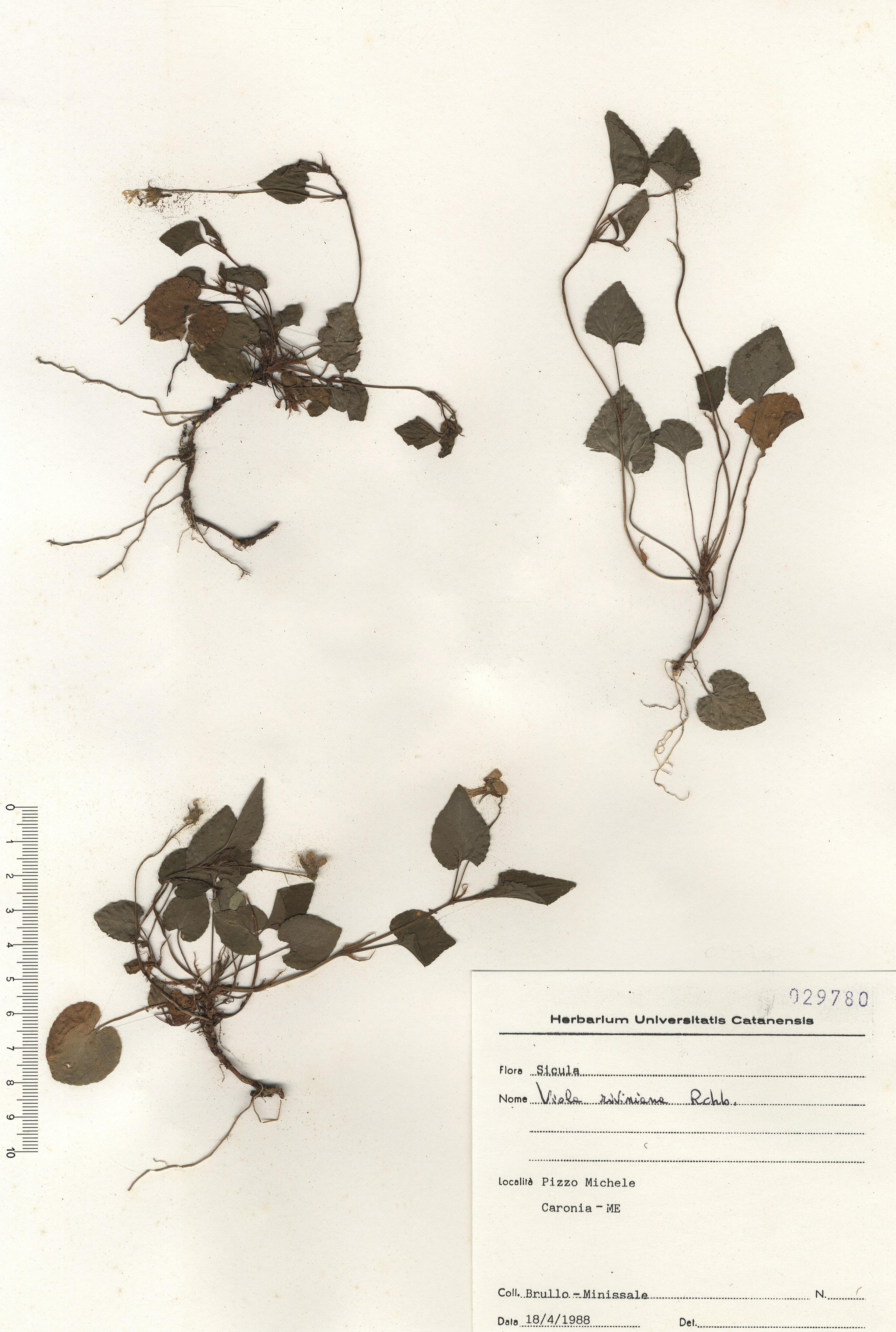 © Hortus Botanicus Catinensis - Herb. sheet 029780<br>