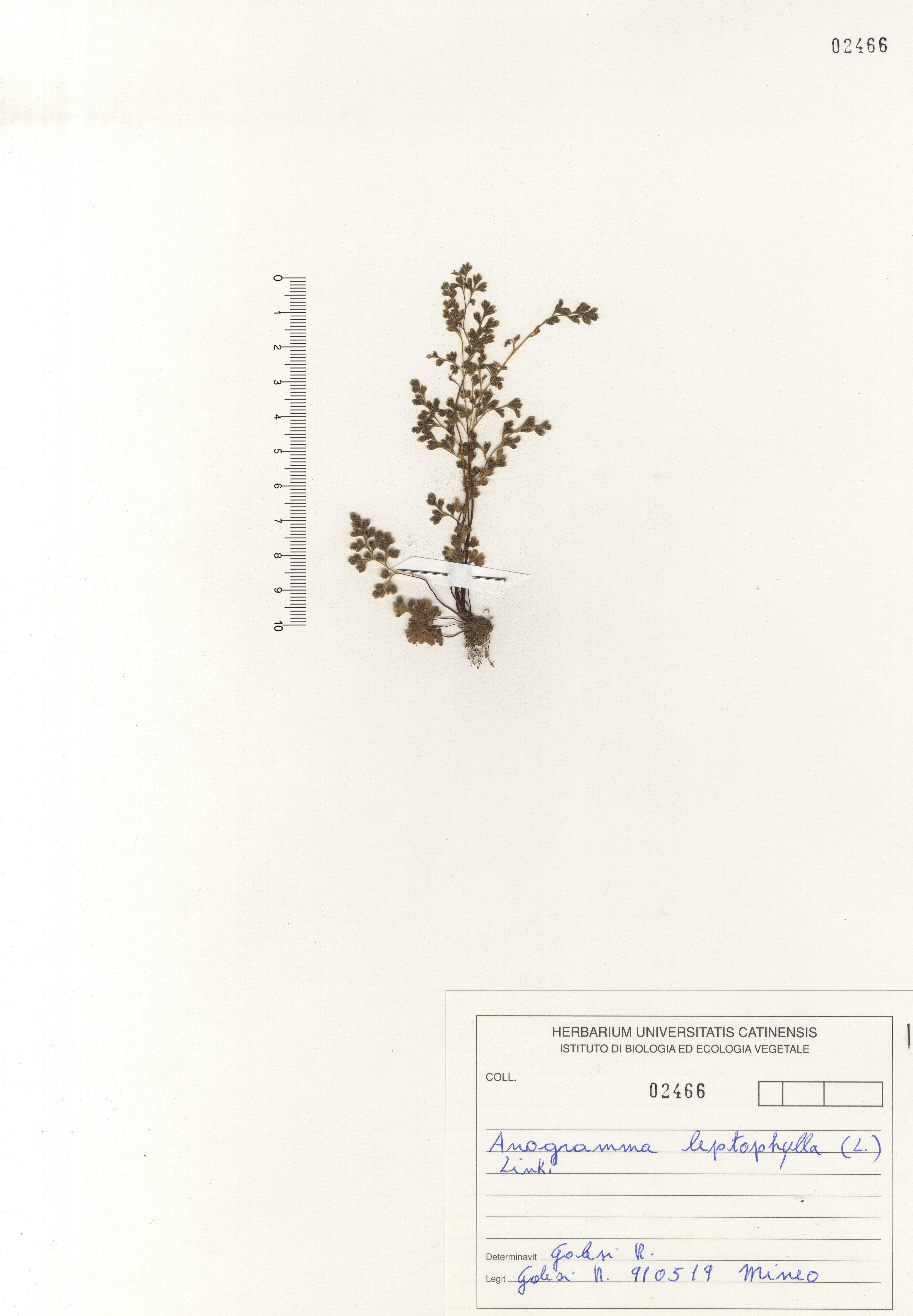 © Hortus Botanicus Catinensis - Herb. sheet 102466<br>