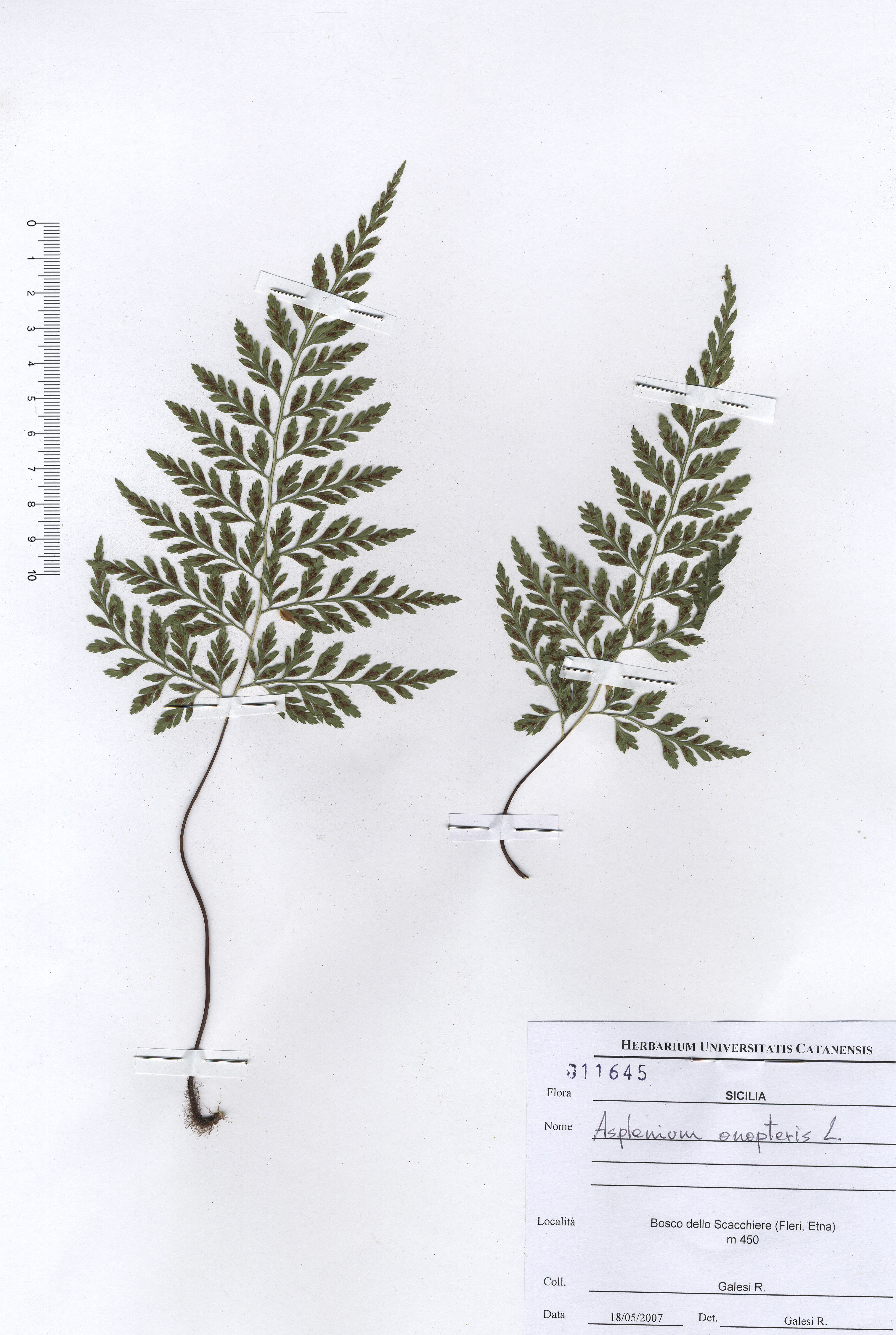 © Hortus Botanicus Catinensis - Herb. sheet 011645<br>