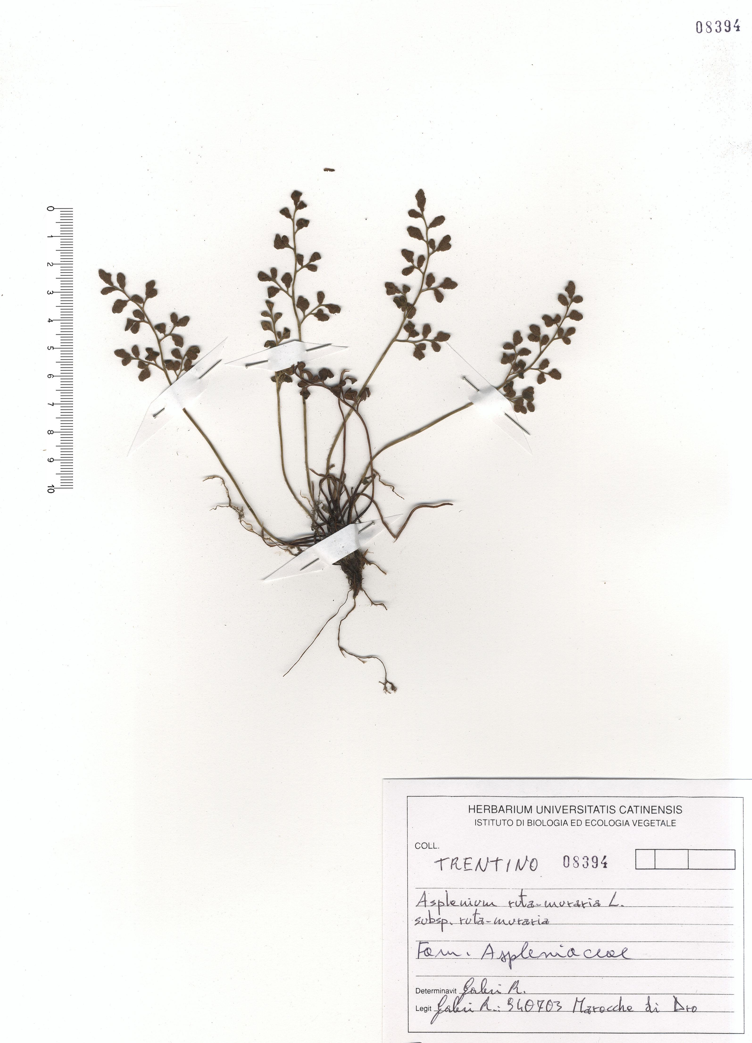 © Hortus Botanicus Catinensis - Herb. sheet 108394<br>