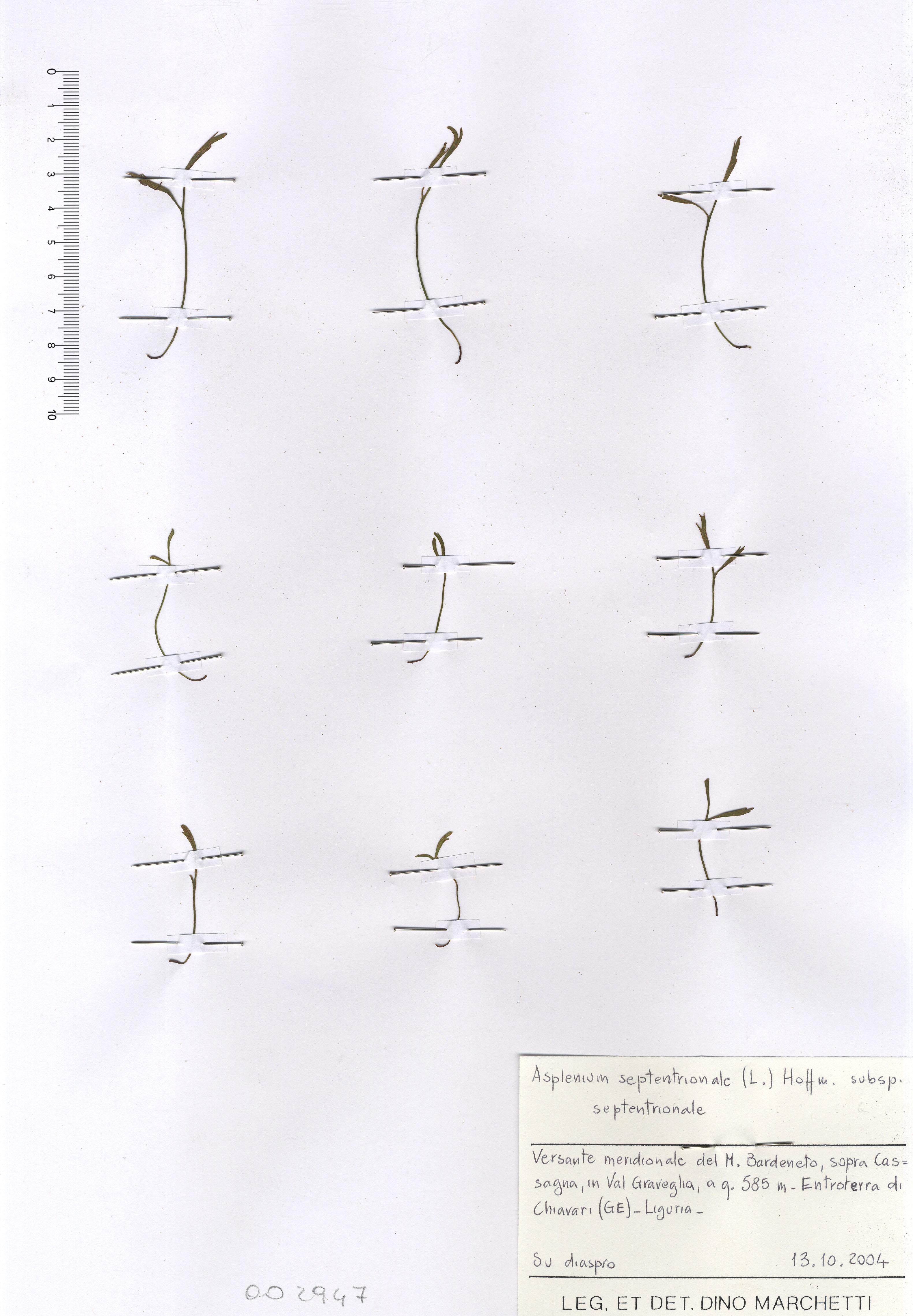 © Hortus Botanicus Catinensis - Herb. sheet 002947<br>