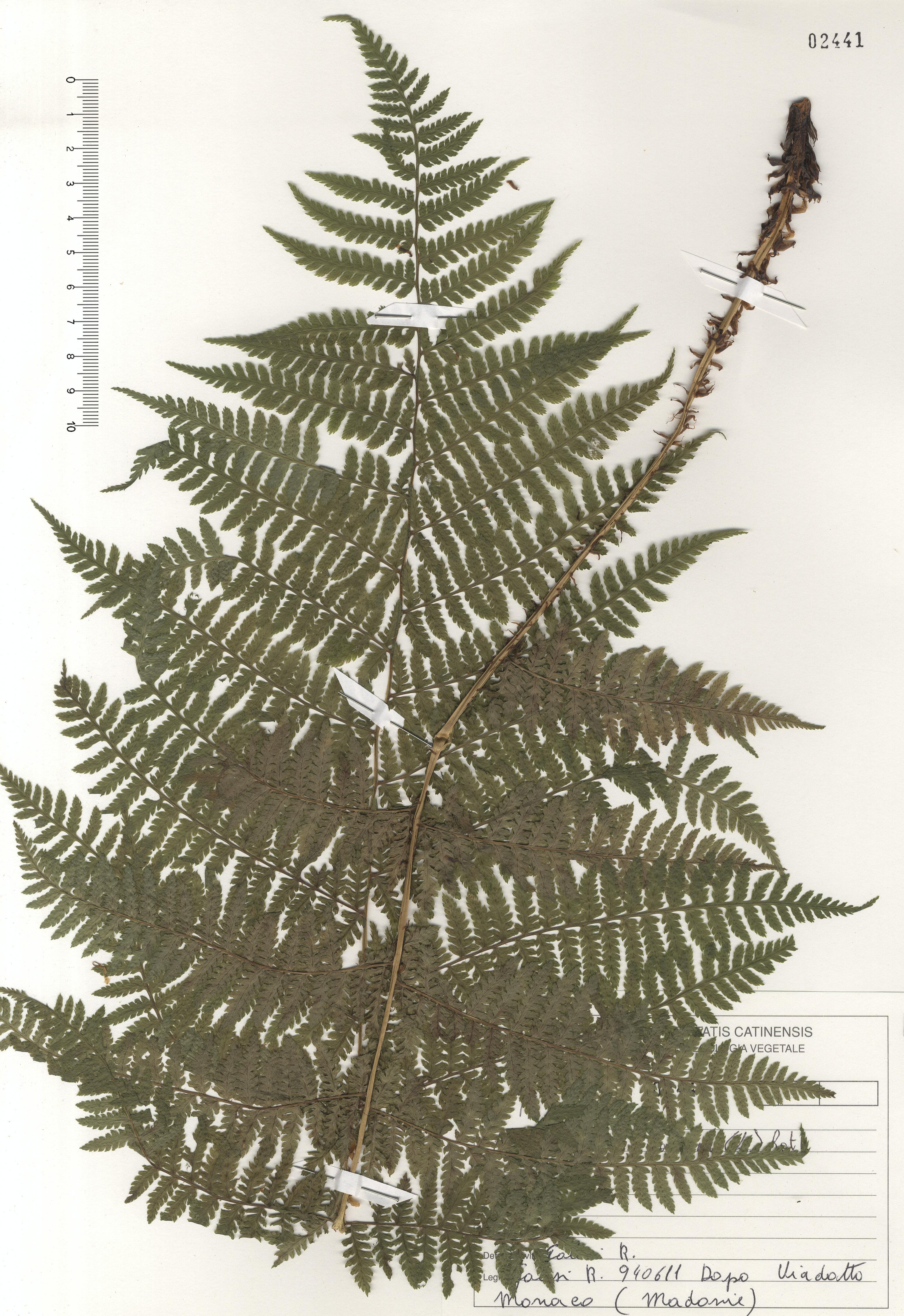 © Hortus Botanicus Catinensis - Herb. sheet 102441<br>