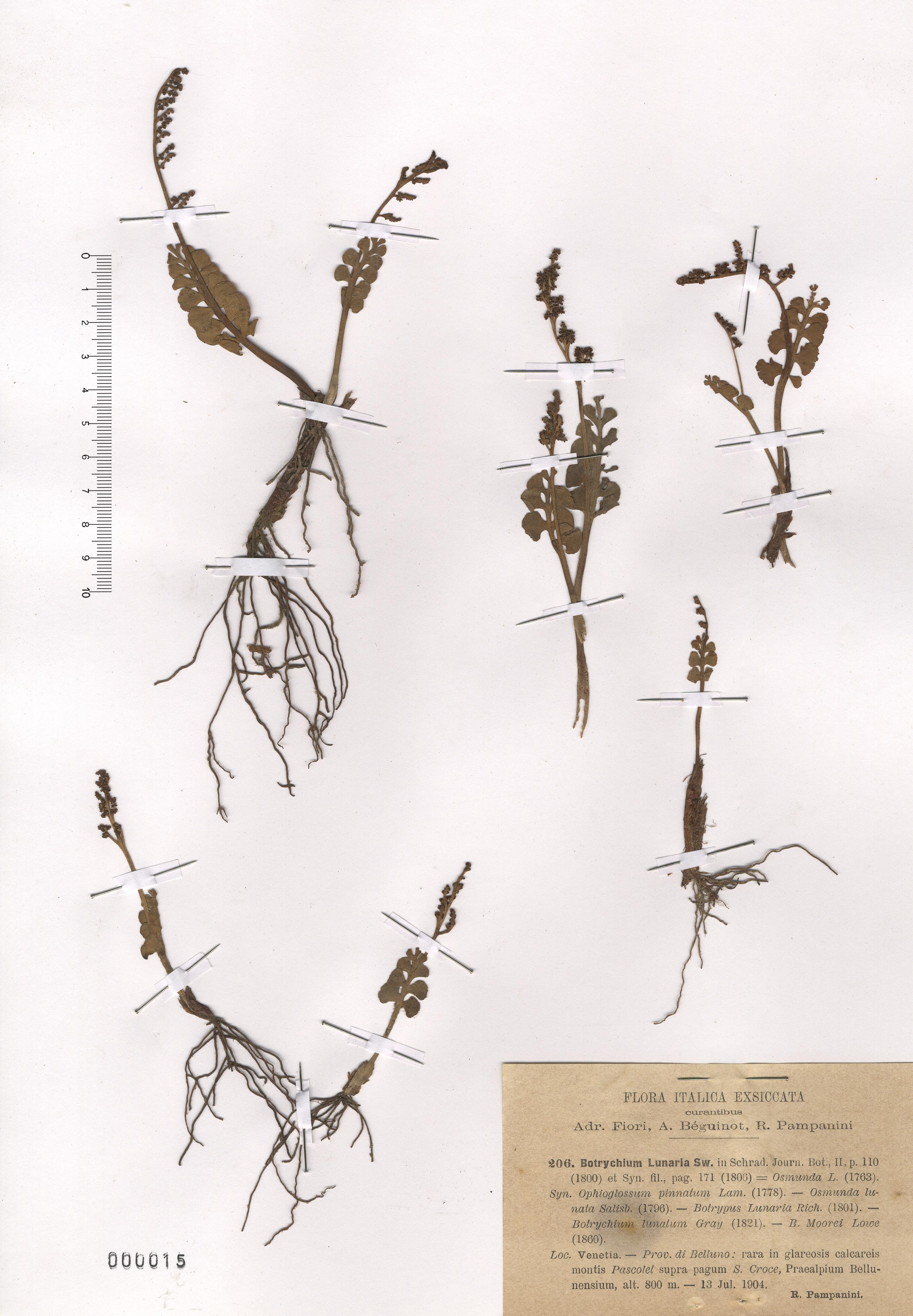© Hortus Botanicus Catinensis - Herb. sheet 000015<br>