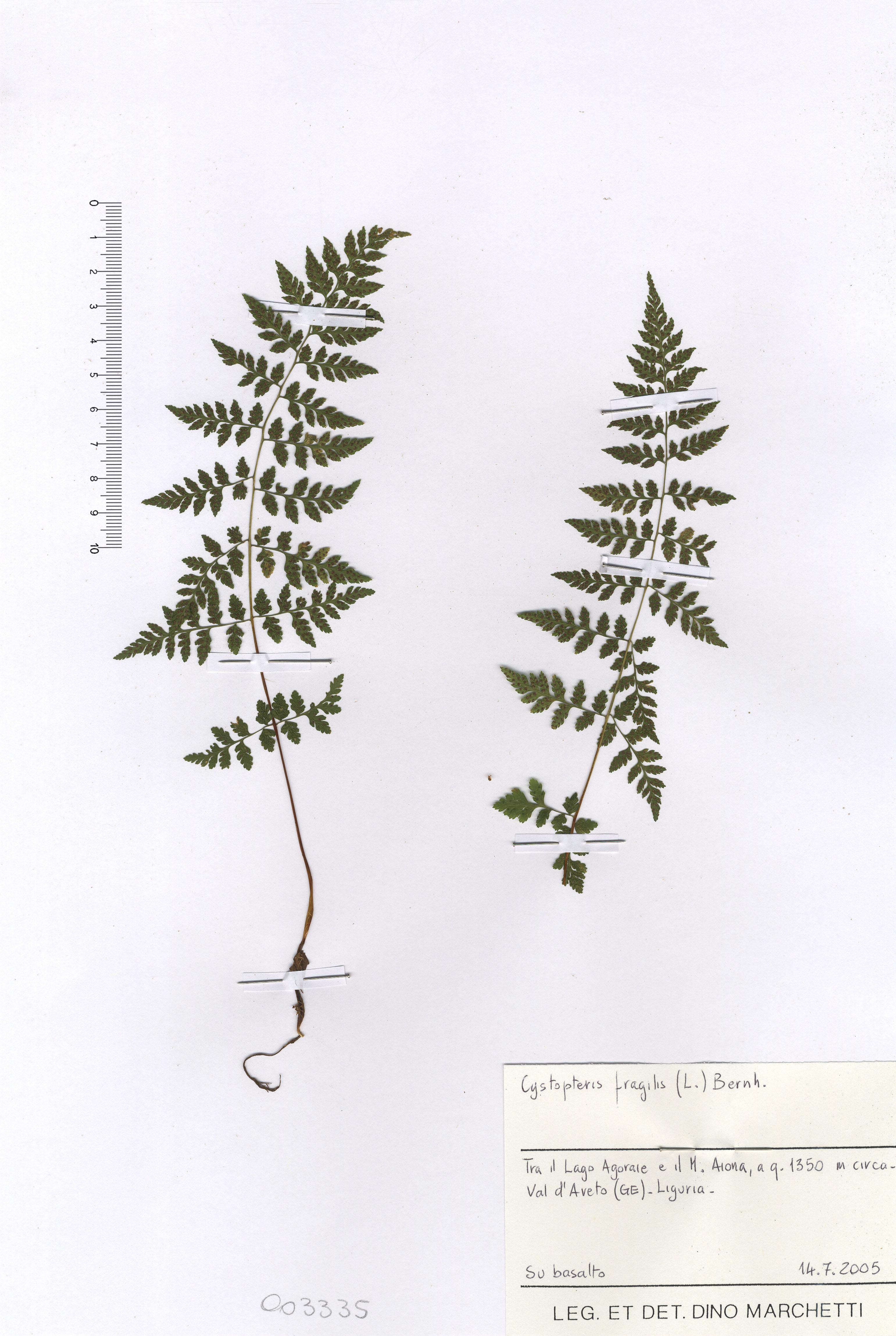 © Hortus Botanicus Catinensis - Herb. sheet 003335<br>
