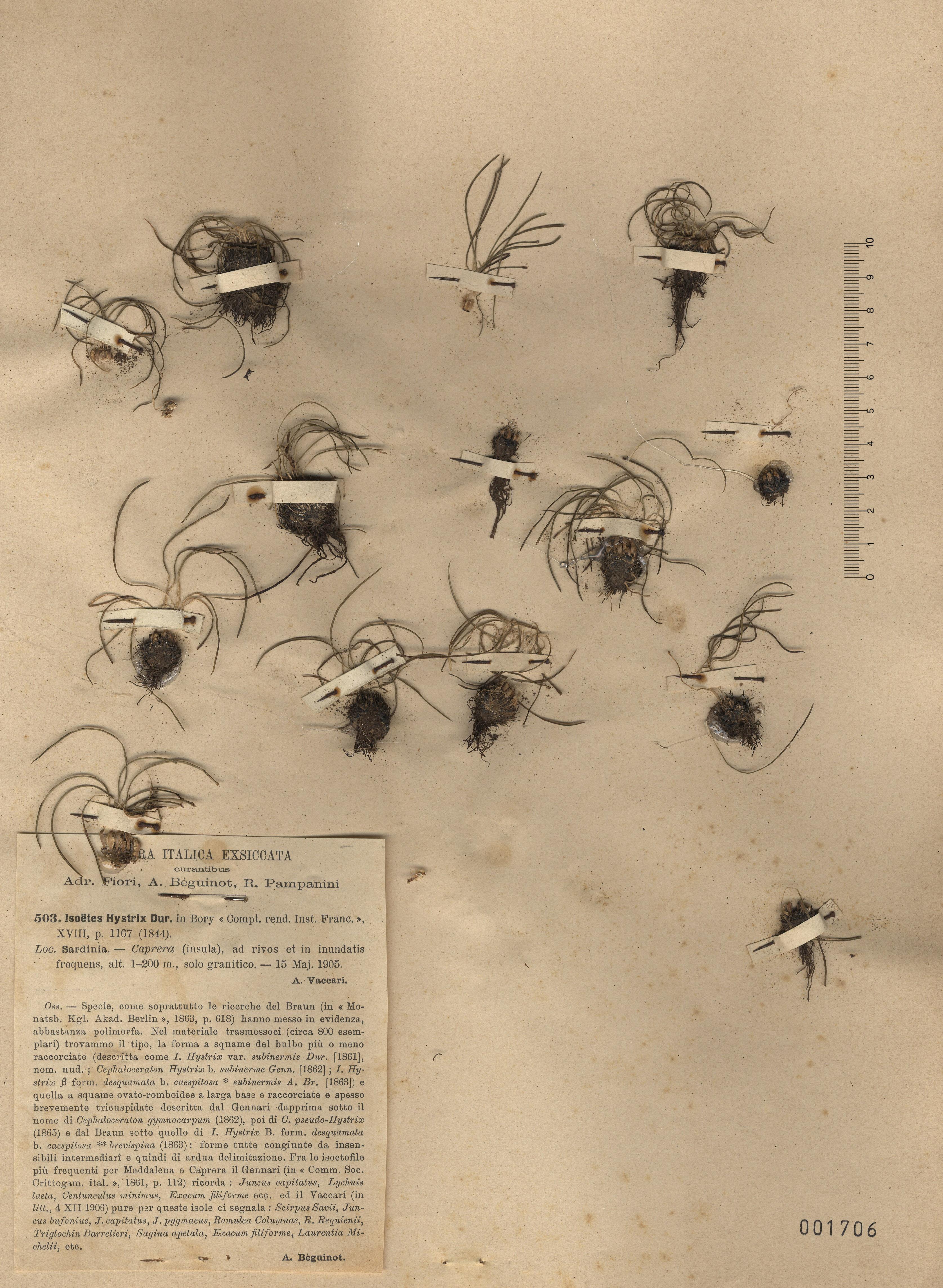 © Hortus Botanicus Catinensis - Herb. sheet 001706<br>