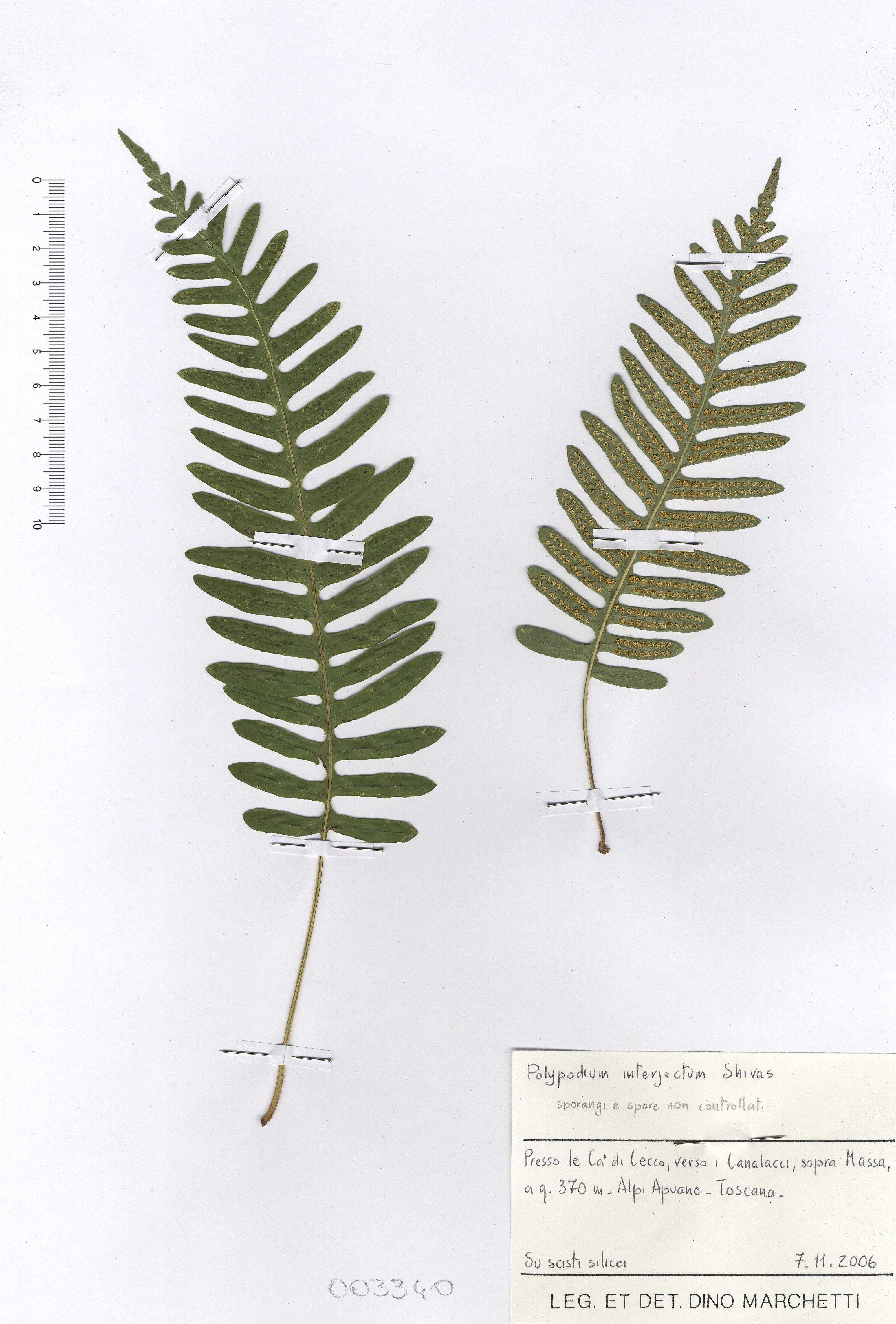 © Hortus Botanicus Catinensis - Herb. sheet 003340<br>