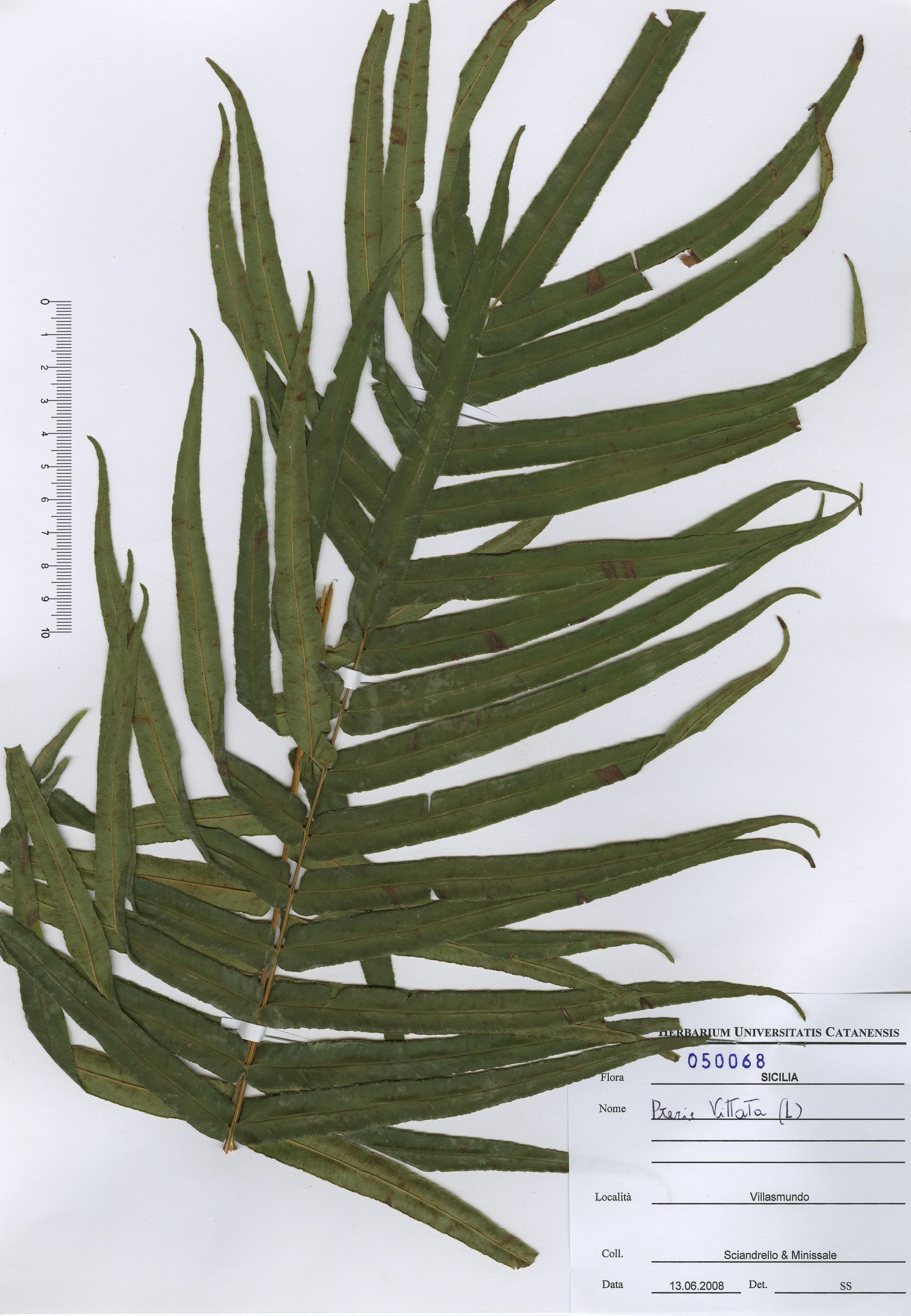 © Hortus Botanicus Catinensis - Herb. sheet 050068<br>