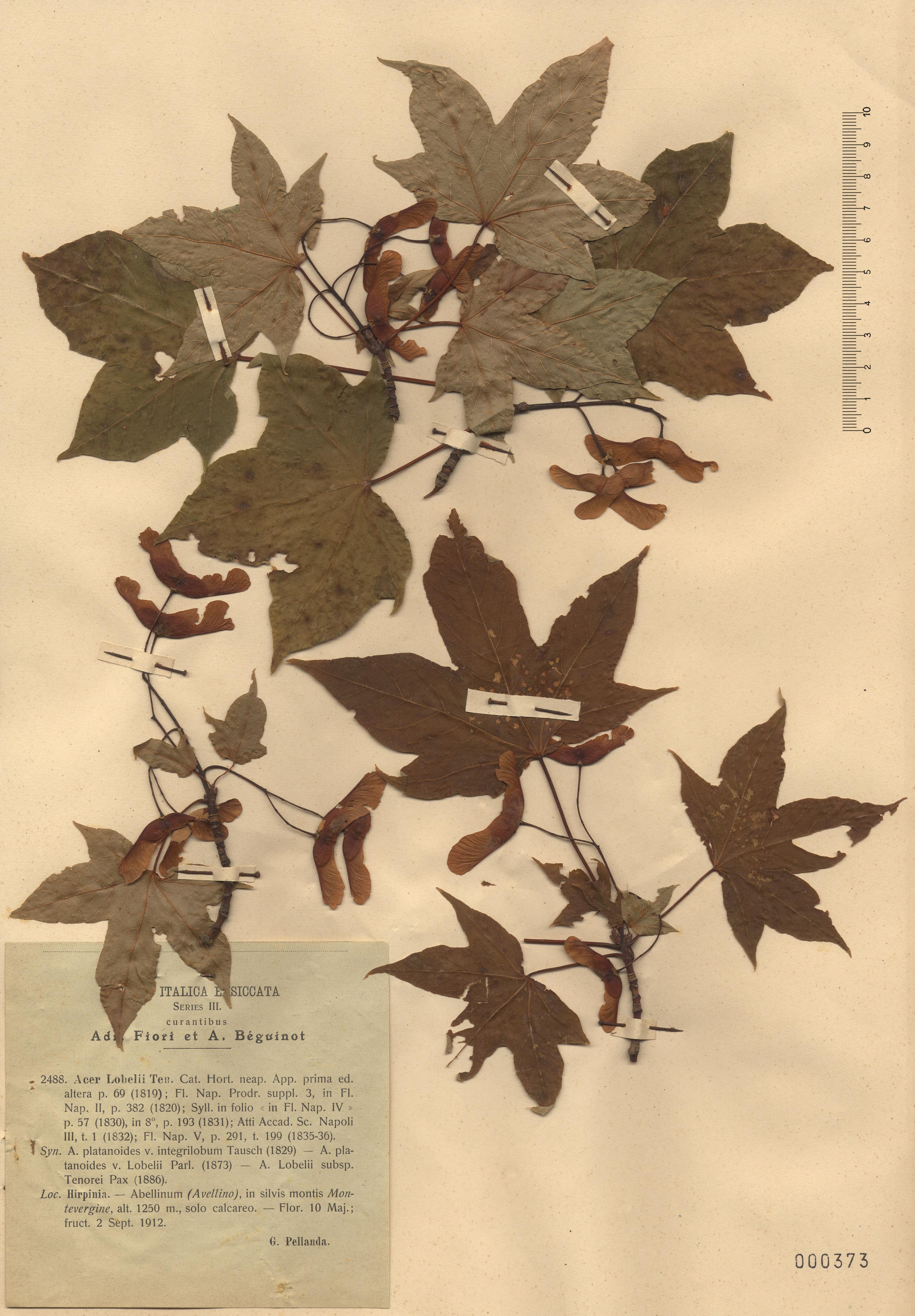 &copy; Hortus Botanicus Catinensis - Herb. sheet 000373<br>