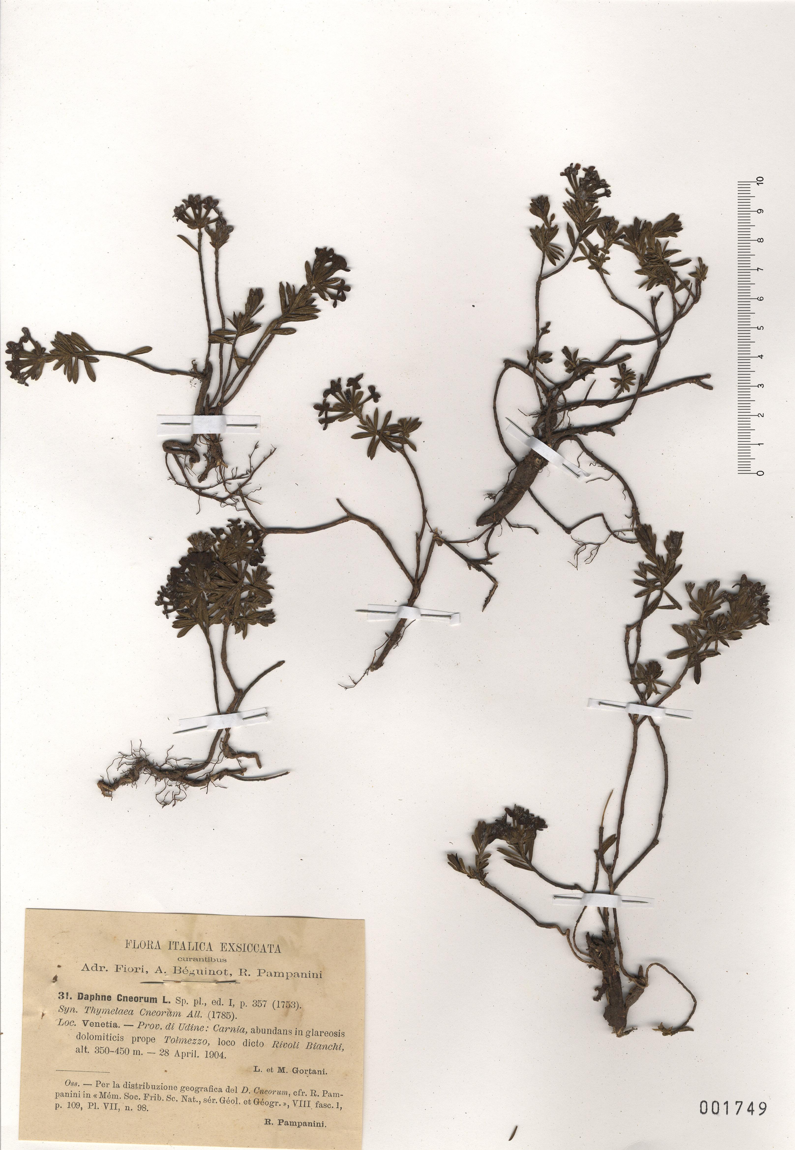 © Hortus Botanicus Catinensis - Herb. sheet 001749<br>