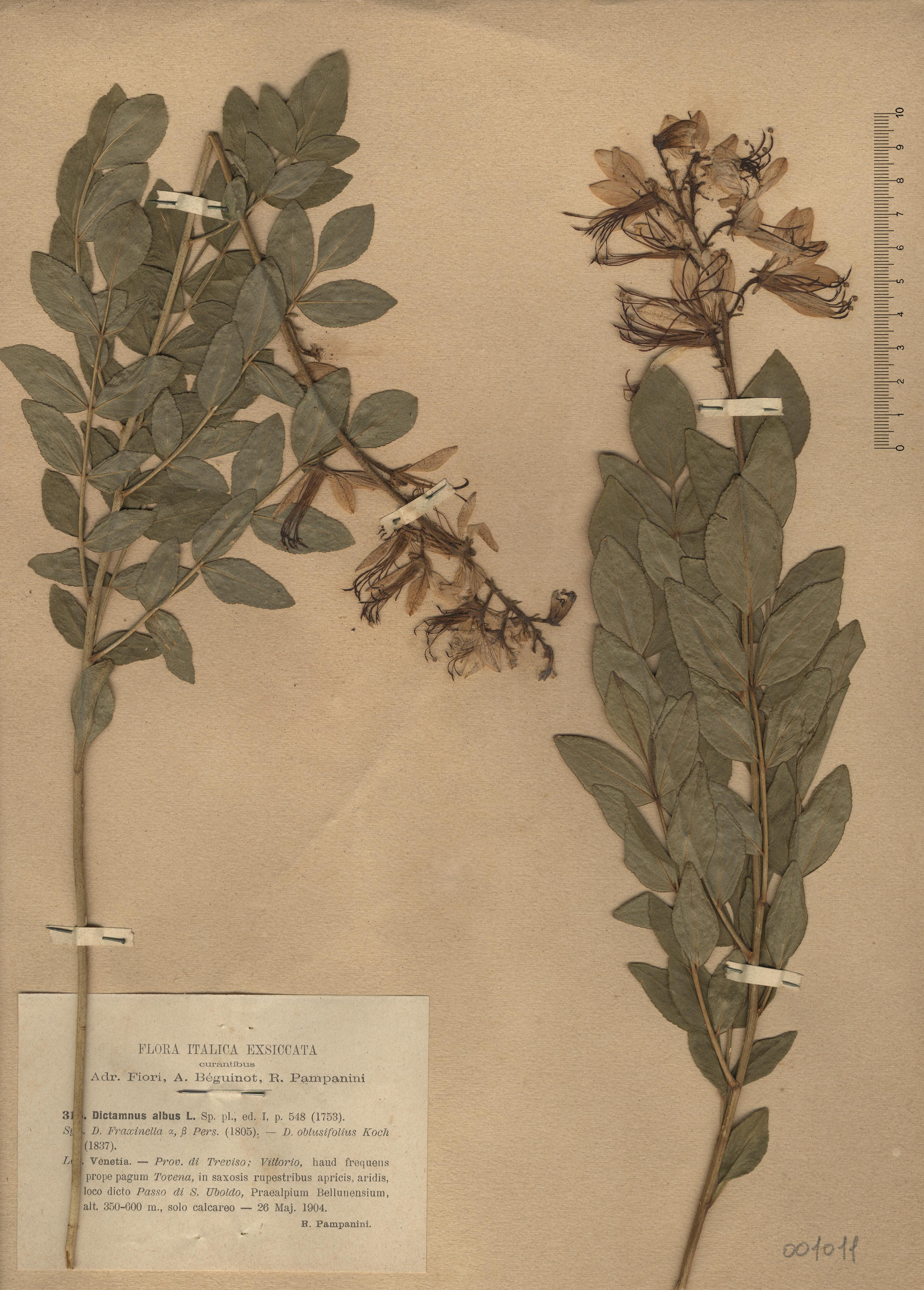 © Hortus Botanicus Catinensis - Herb. sheet 001011<br>