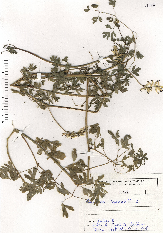 © Hortus Botanicus Catinensis - Herb. sheet 101363<br>