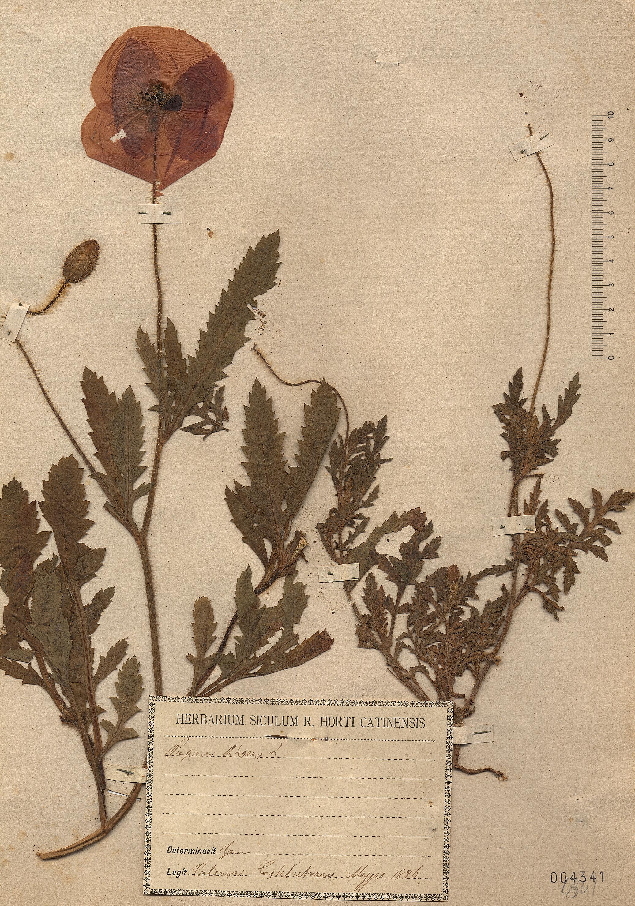 © Hortus Botanicus Catinensis - Herb. sheet 004341<br>
