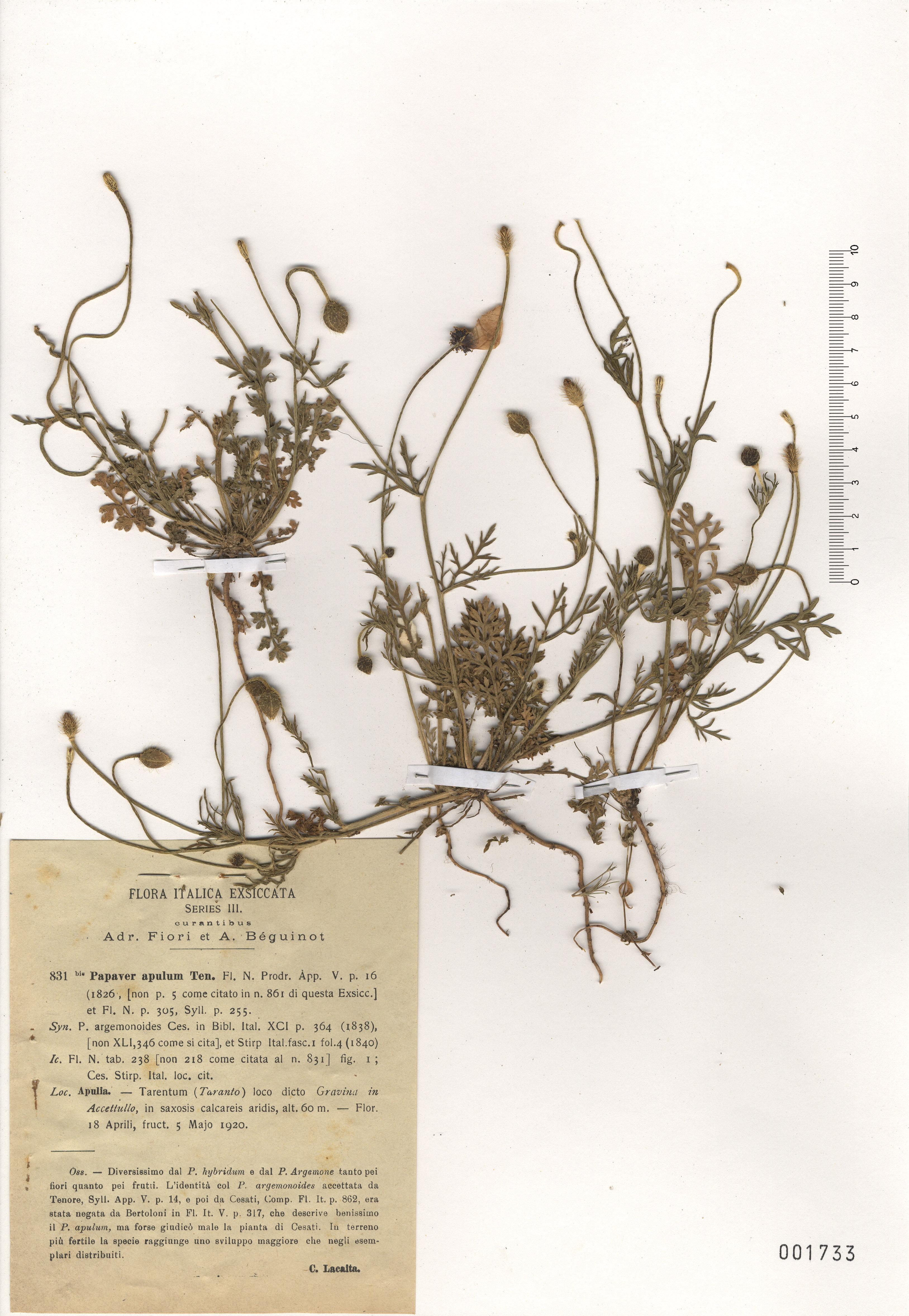 © Hortus Botanicus Catinensis - Herb. sheet 001733<br>