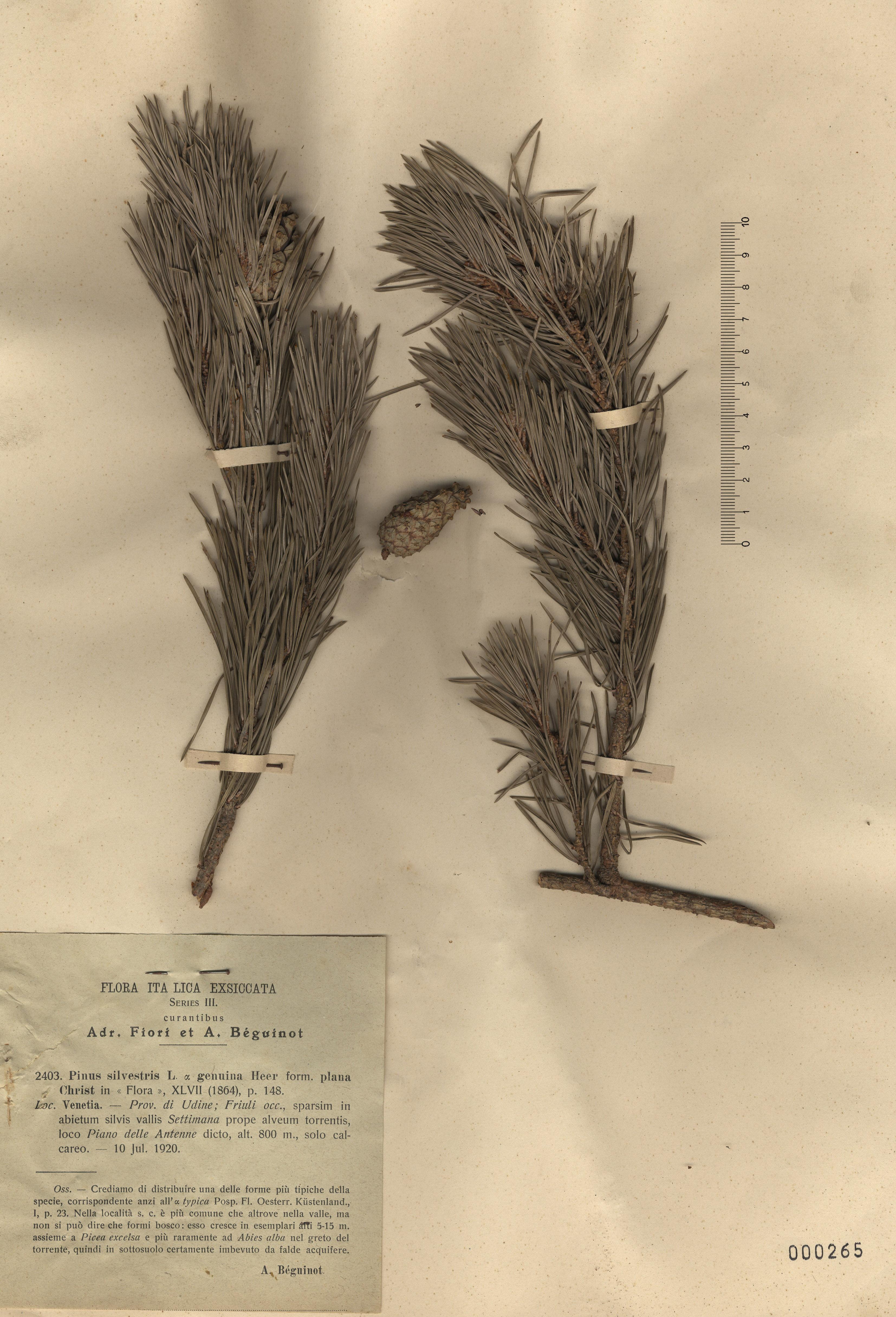 © Hortus Botanicus Catinensis - Herb. sheet 000265<br>