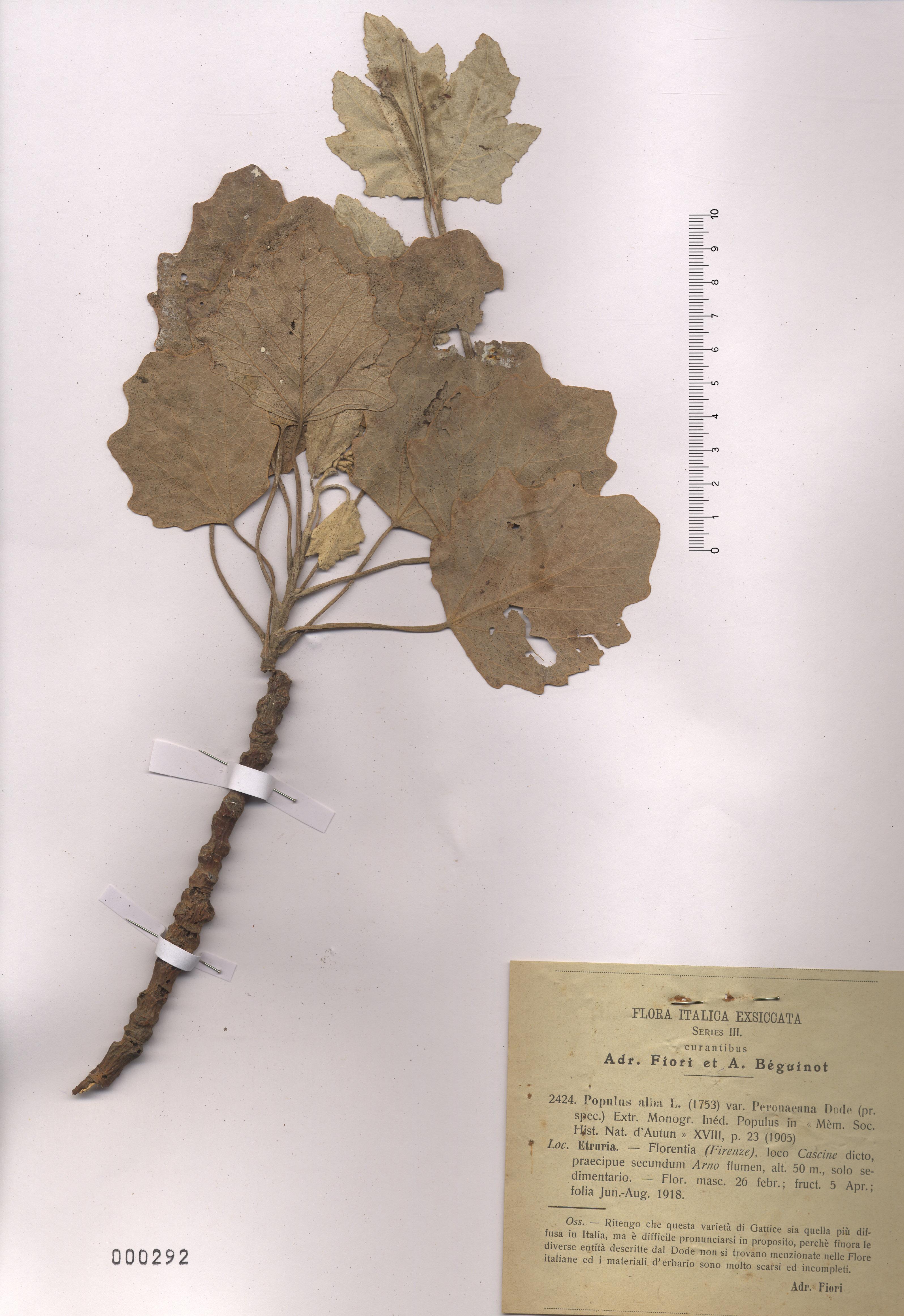 © Hortus Botanicus Catinensis - Herb. sheet 000292<br>