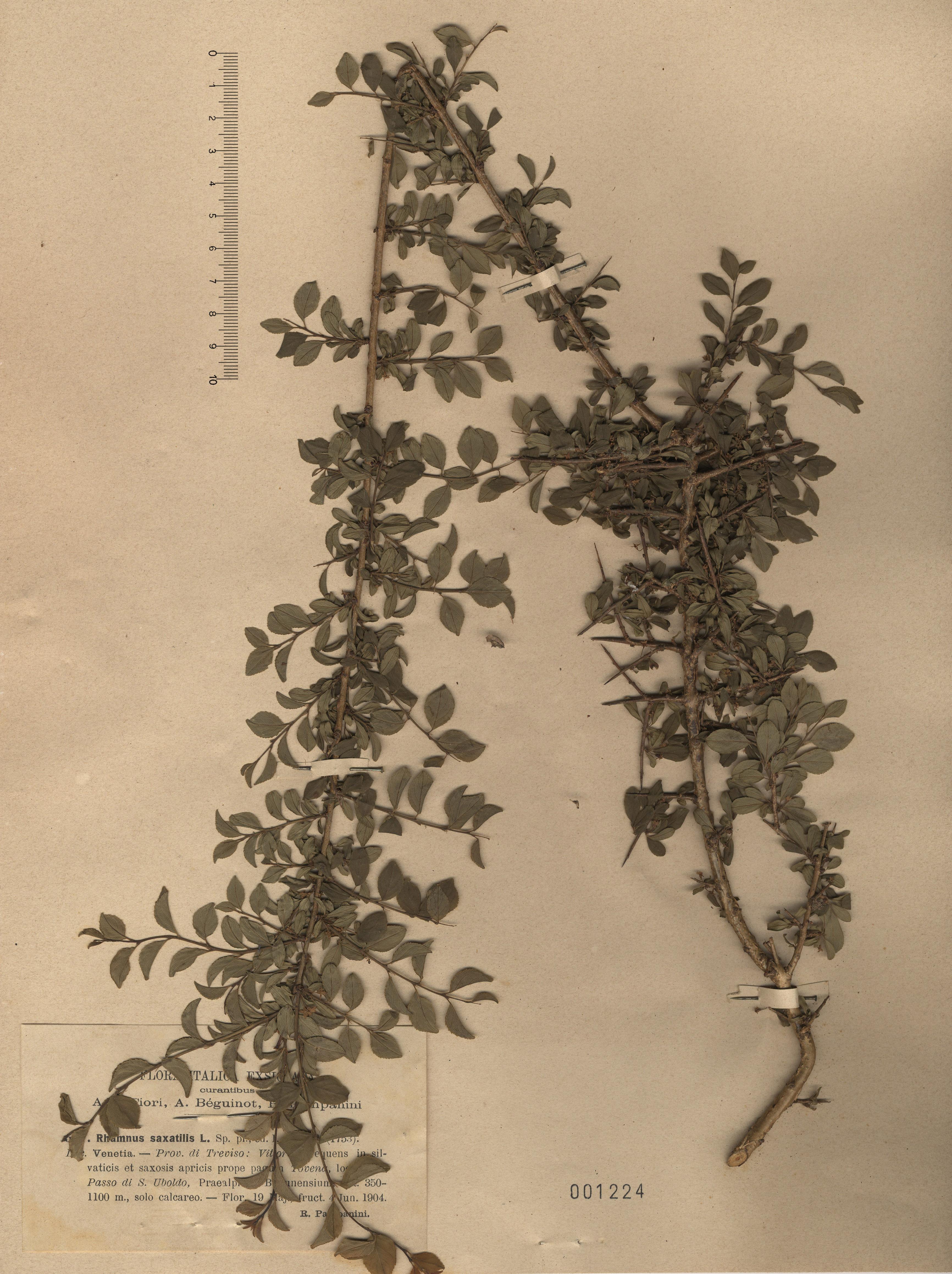 © Hortus Botanicus Catinensis - Herb. sheet 001224<br>