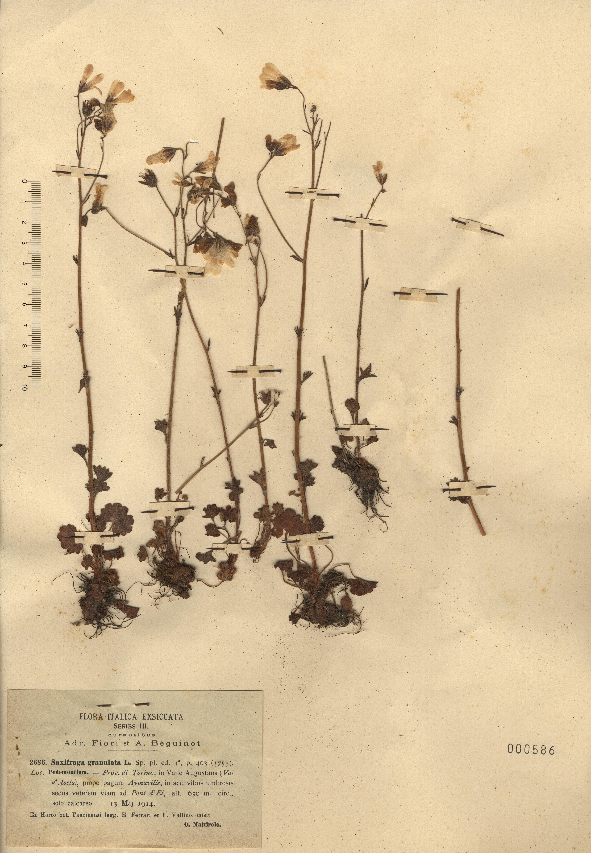 © Hortus Botanicus Catinensis - Herb. sheet 000586<br>