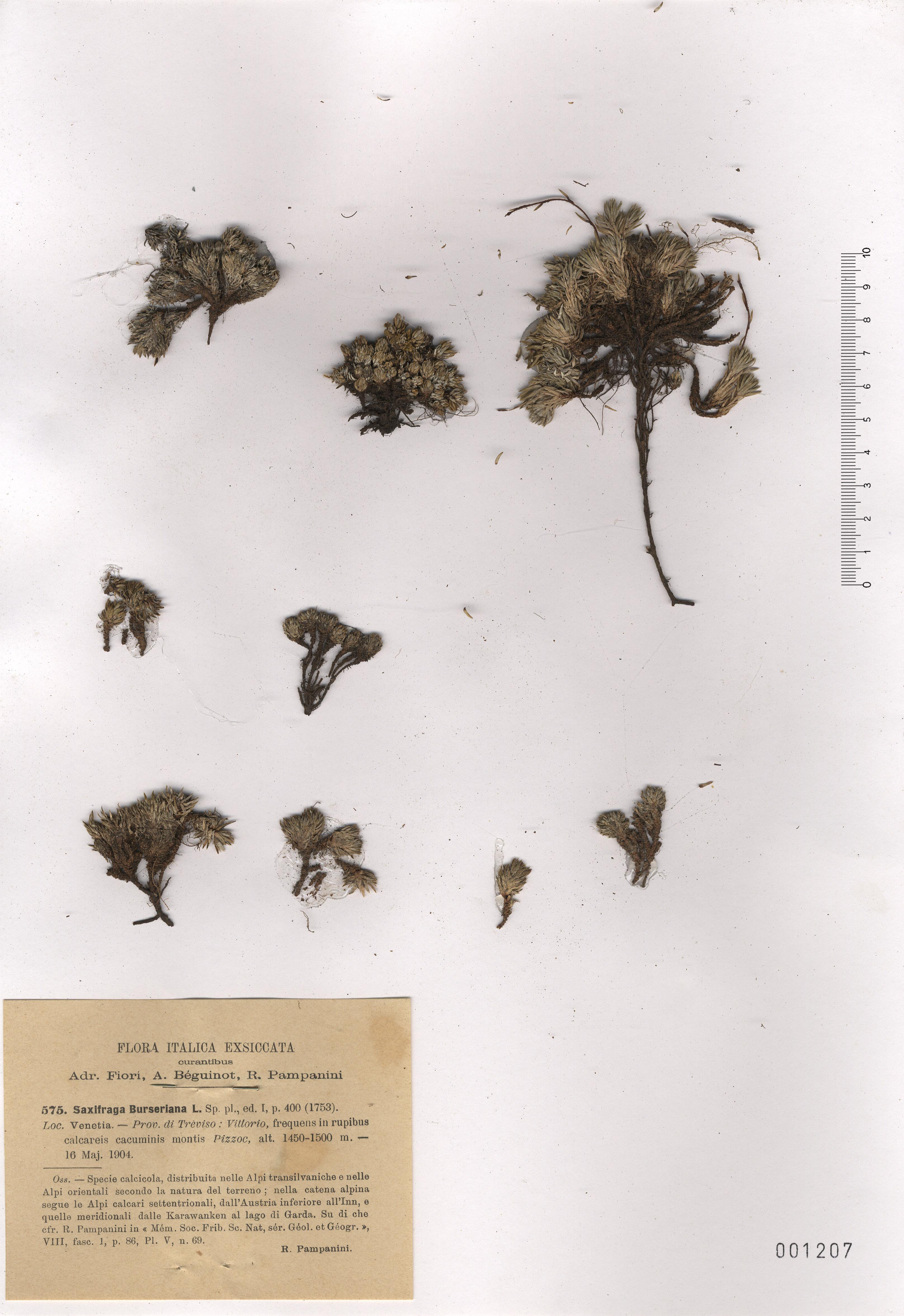 © Hortus Botanicus Catinensis - Herb. sheet 001207<br>
