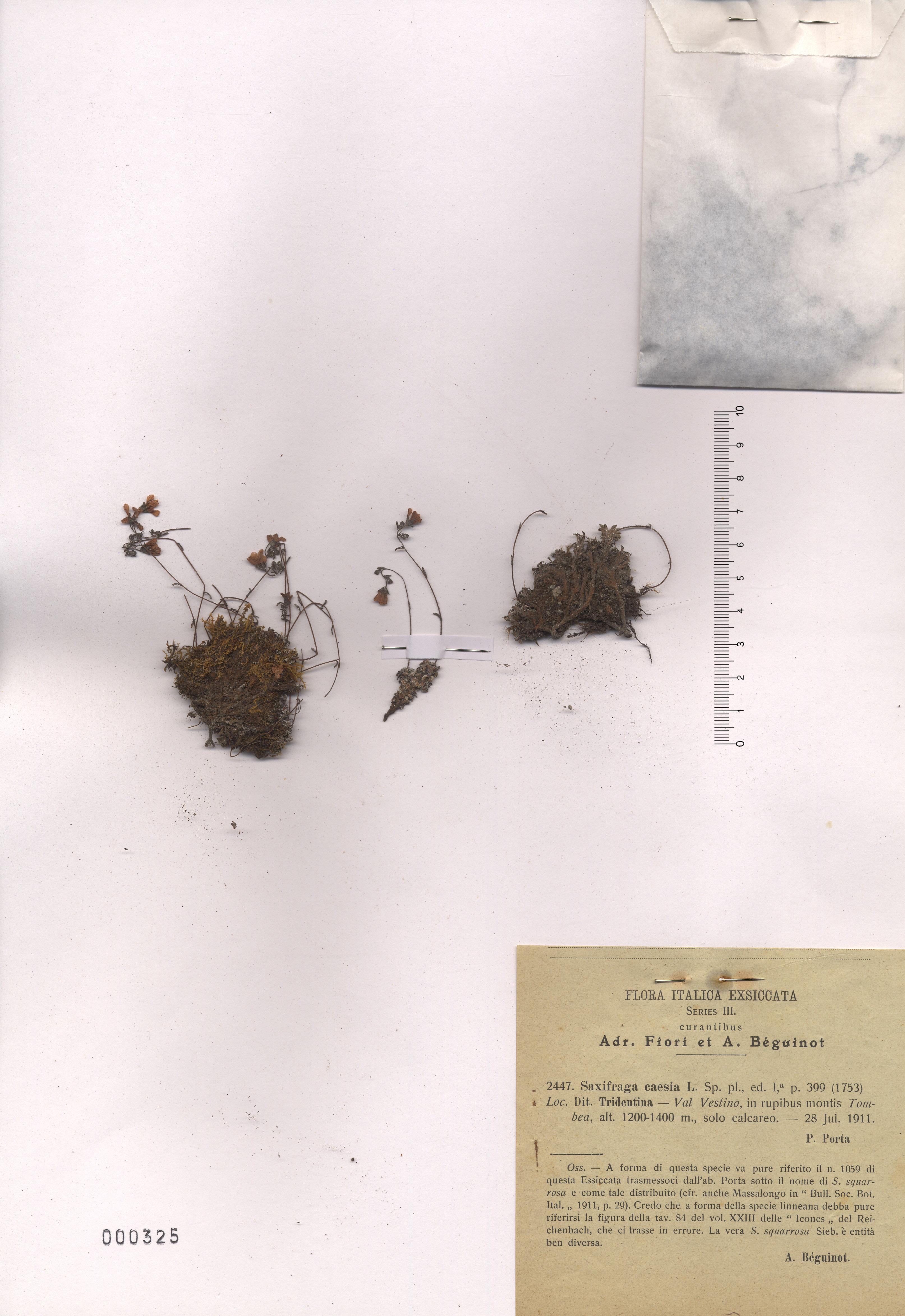 © Hortus Botanicus Catinensis - Herb. sheet 000325<br>