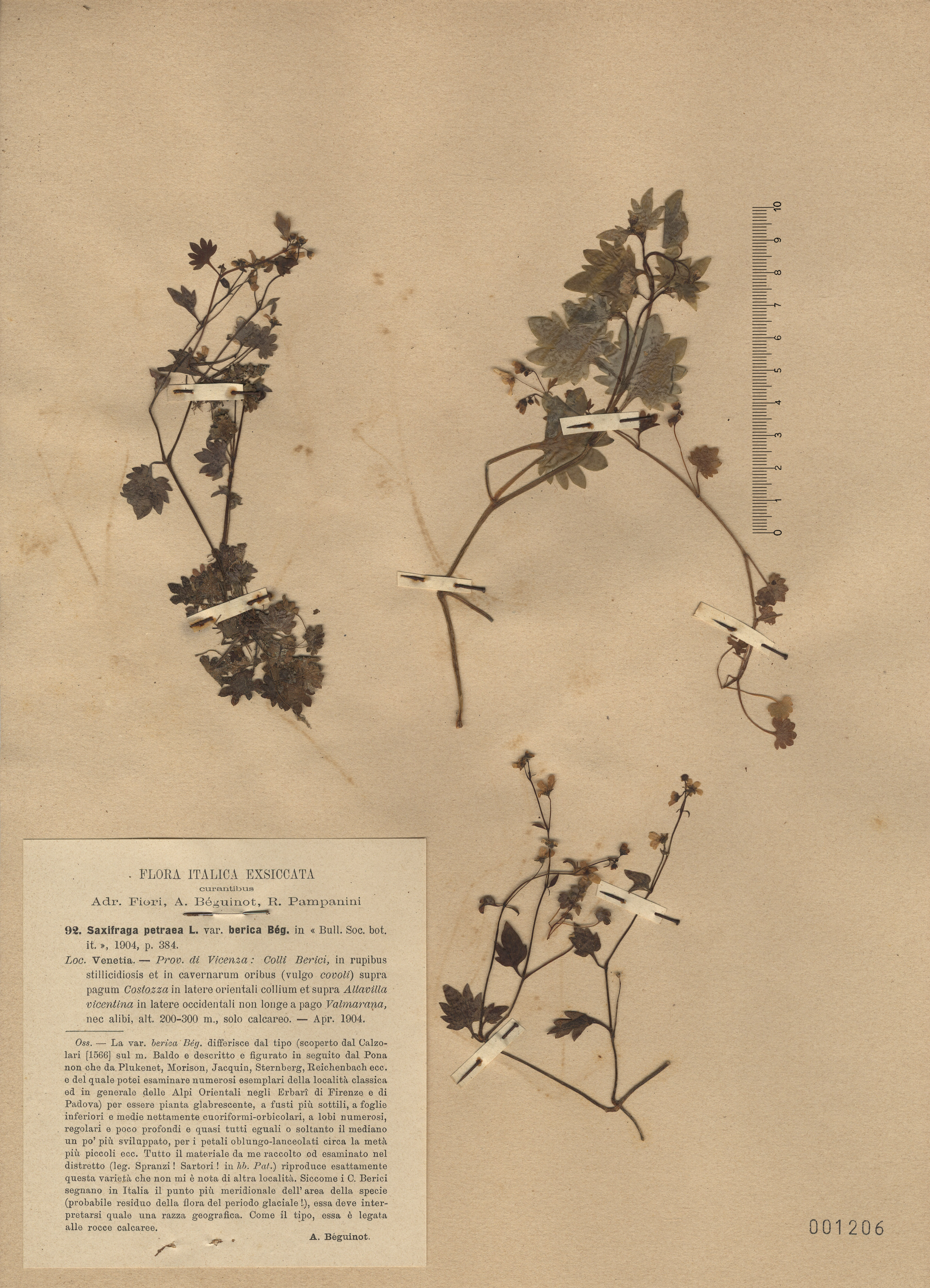 © Hortus Botanicus Catinensis - Herb. sheet 001206<br>