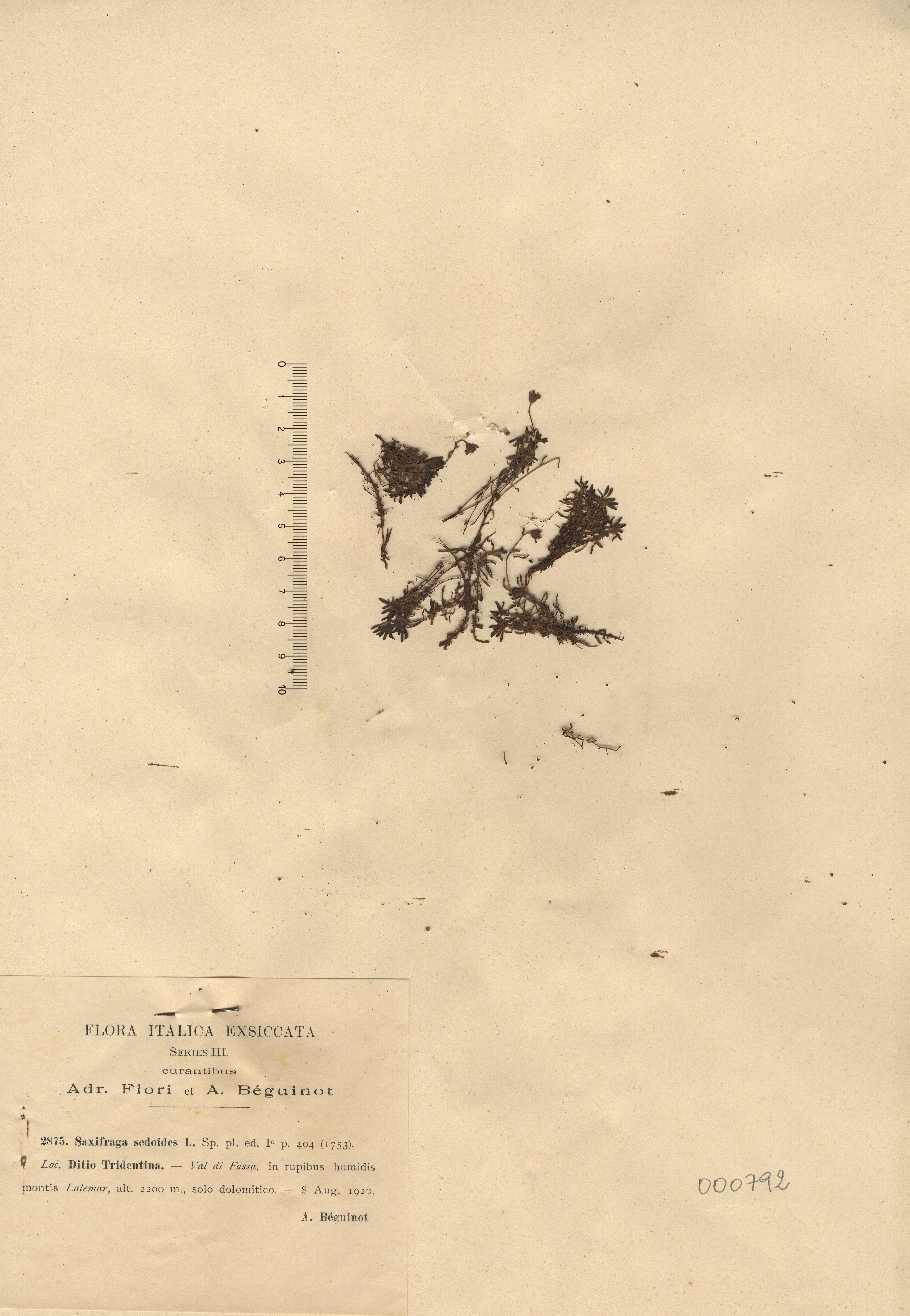 © Hortus Botanicus Catinensis - Herb. sheet 000792<br>