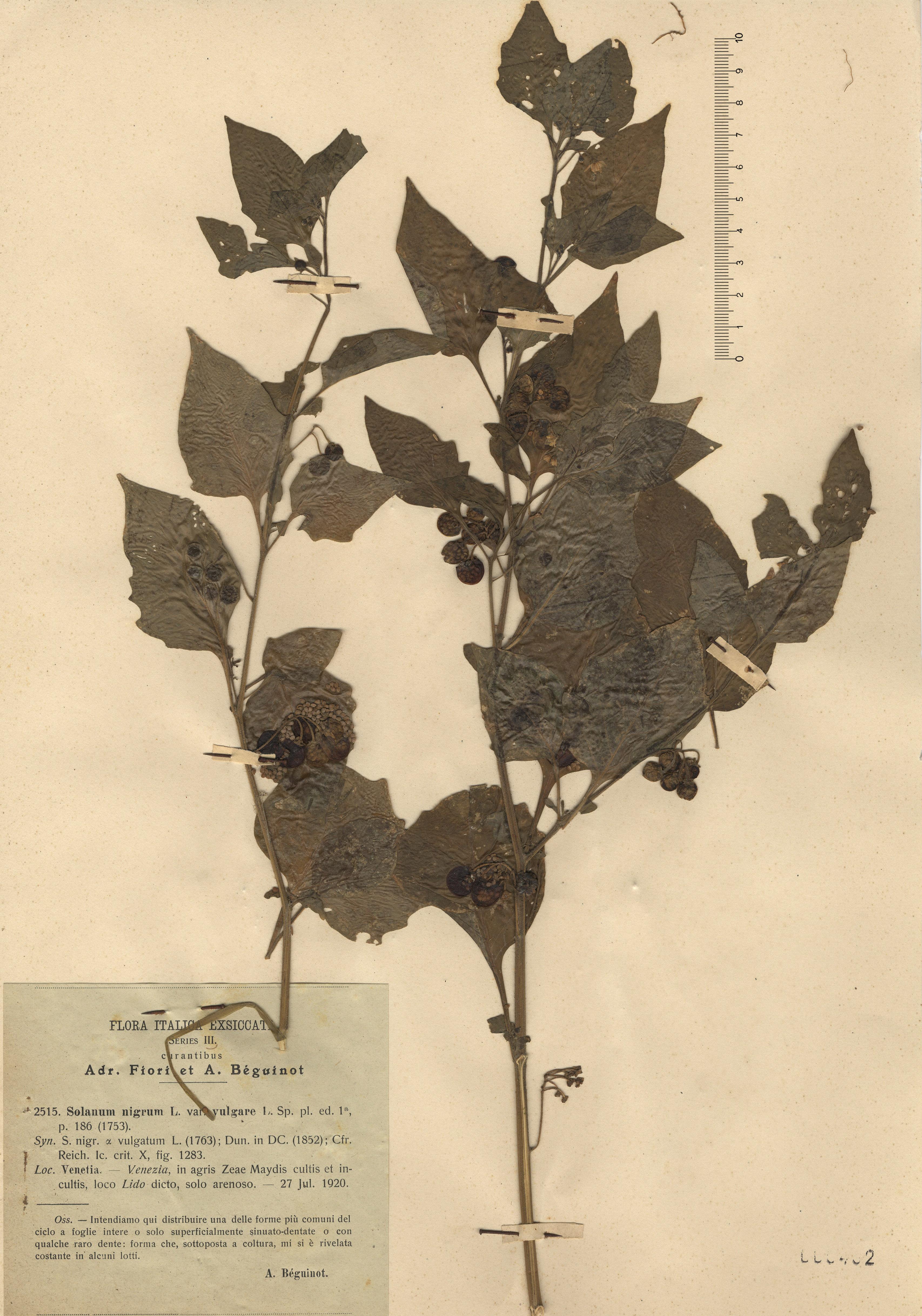 © Hortus Botanicus Catinensis - Herb. sheet 000402<br>