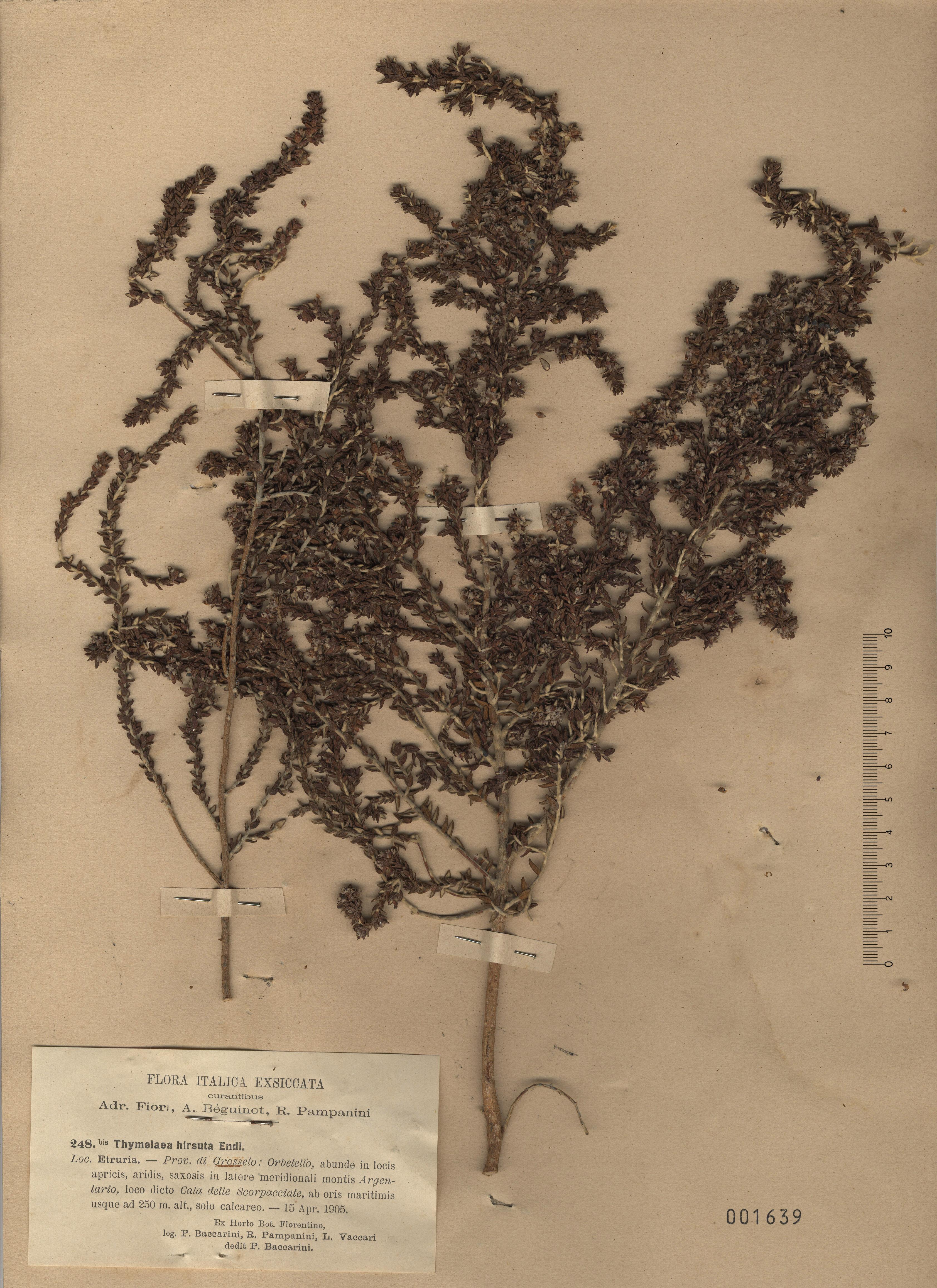 © Hortus Botanicus Catinensis - Herb. sheet 001639<br>