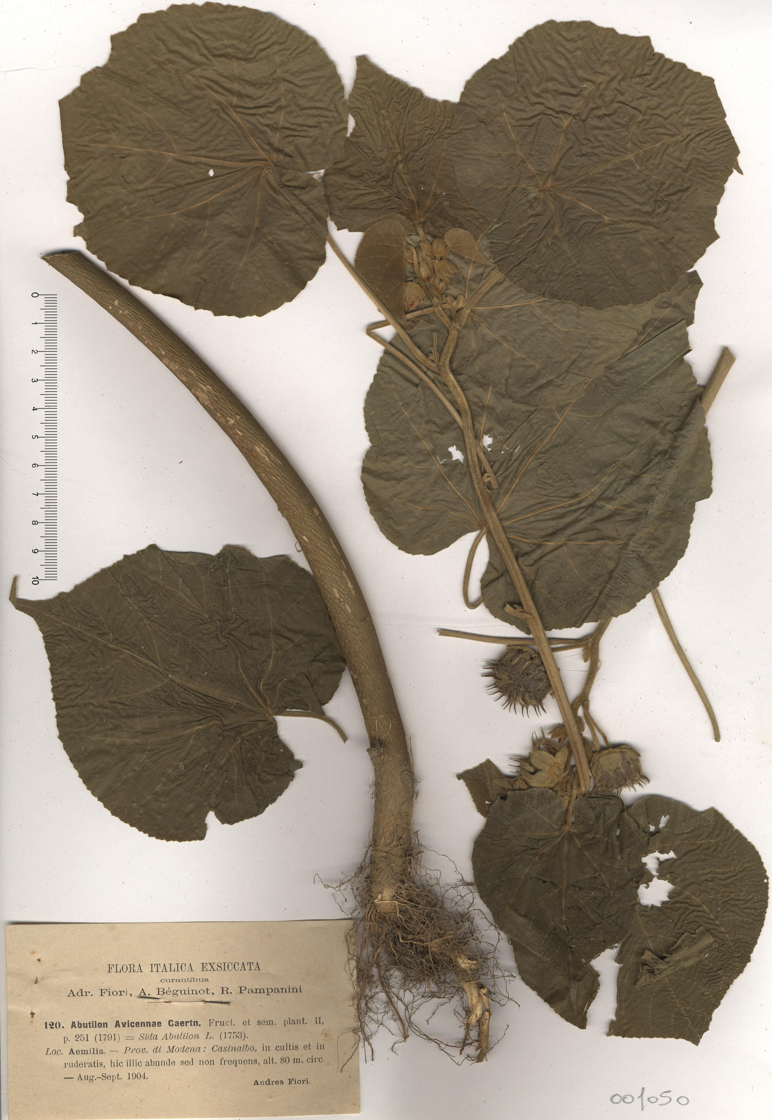&copy; Hortus Botanicus Catinensis - Herb. sheet 001050<br>
