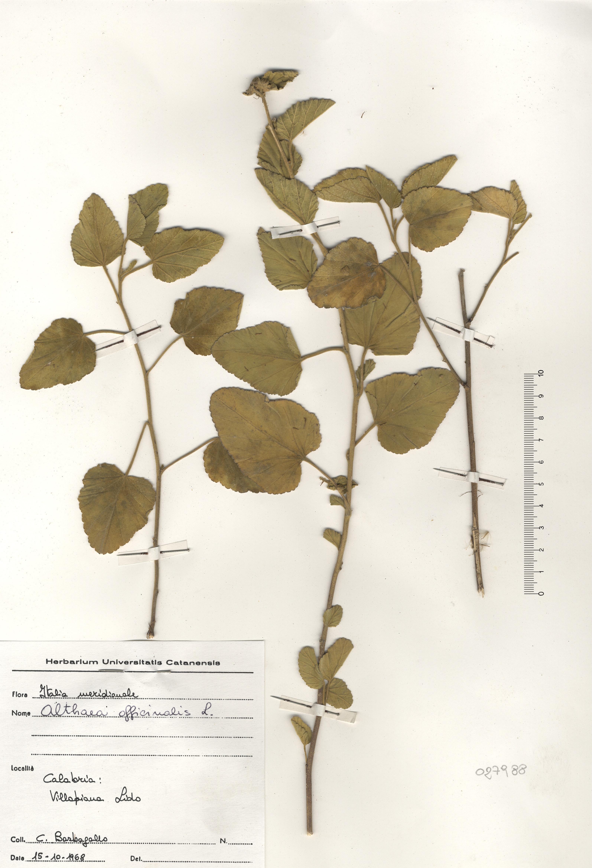 © Hortus Botanicus Catinensis - Herb. sheet 027988<br>