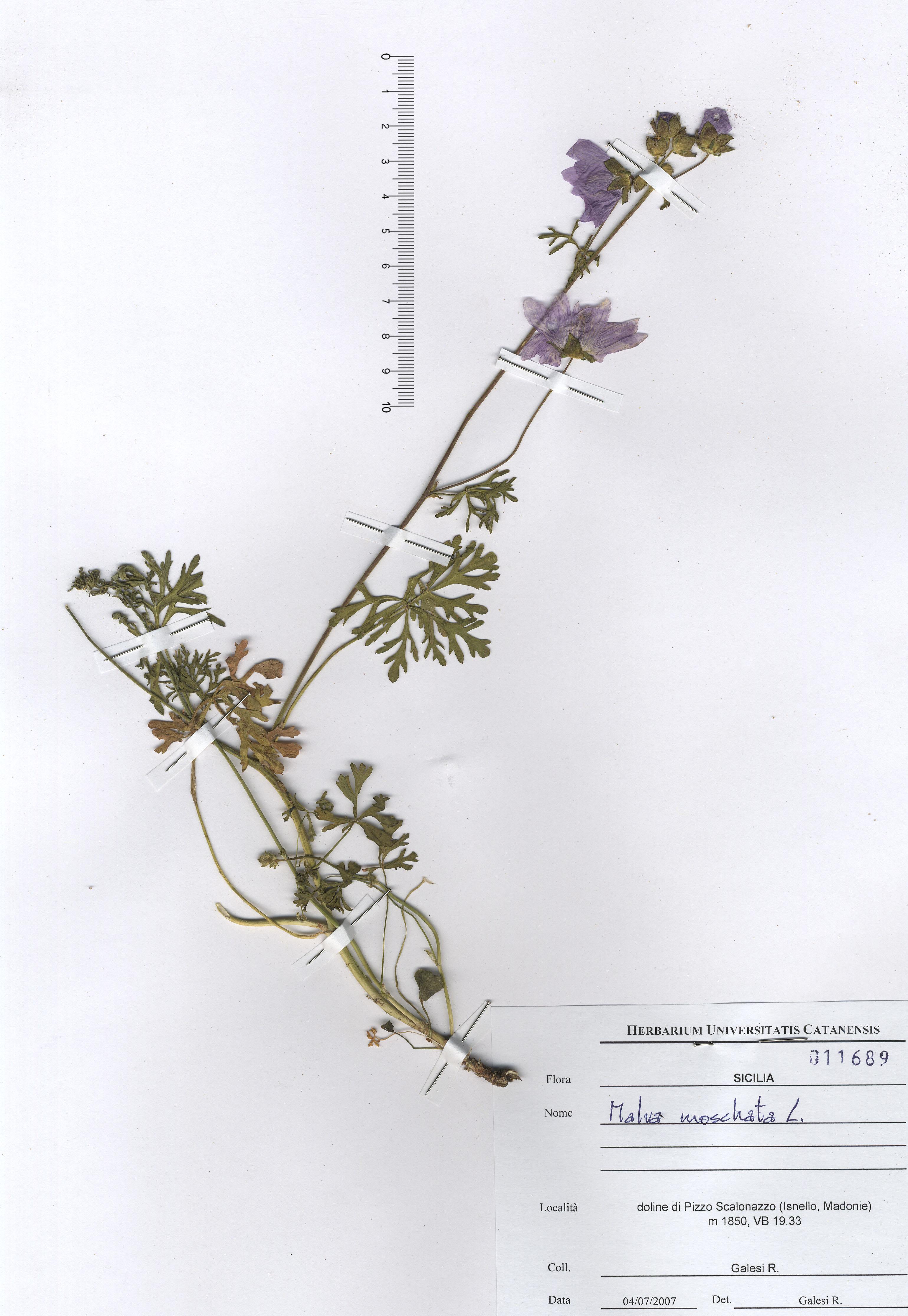 © Hortus Botanicus Catinensis - Herb. sheet 011689<br>
