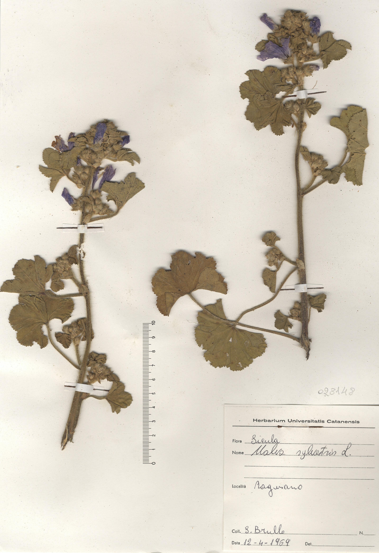 © Hortus Botanicus Catinensis - Herb. sheet 028148<br>