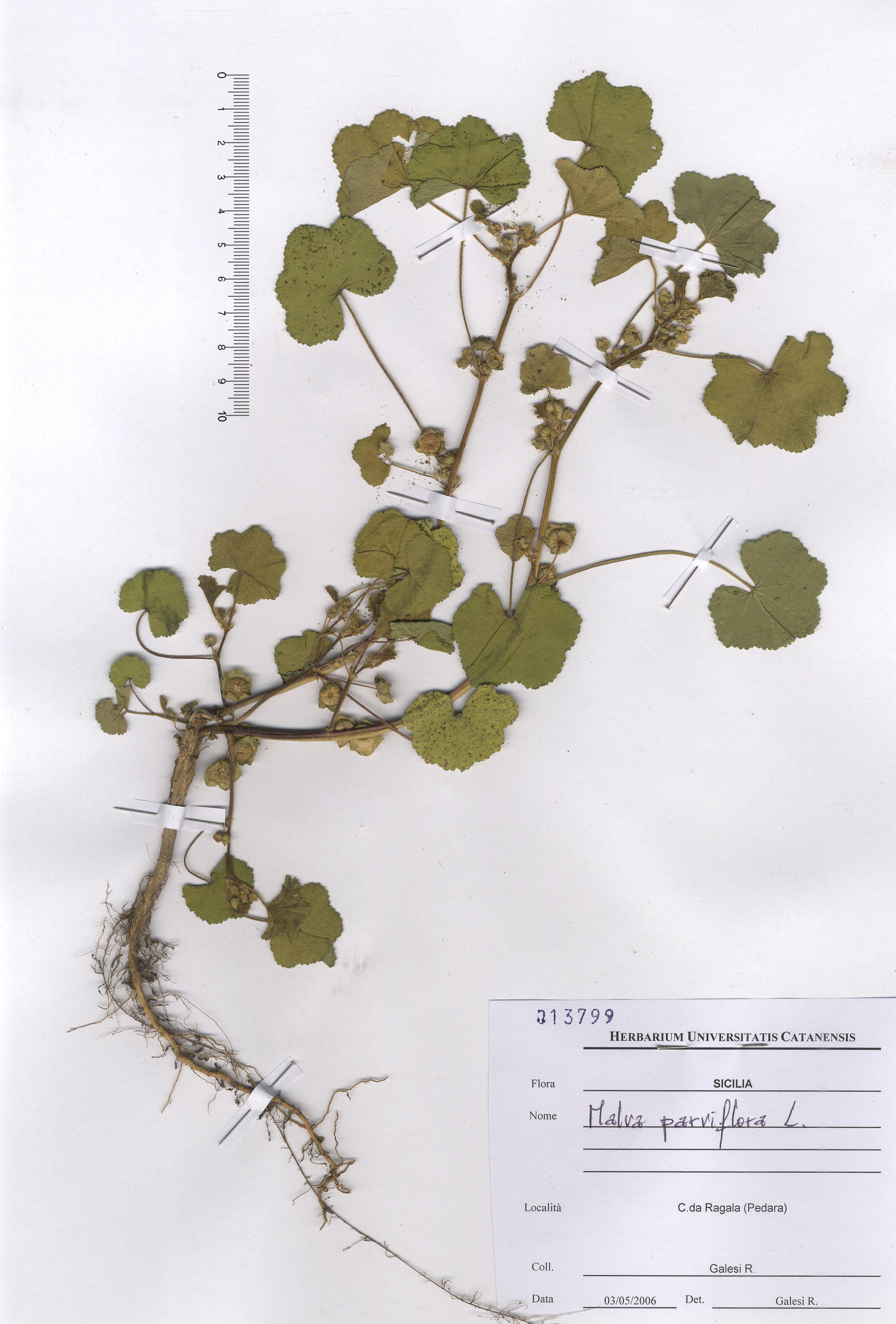 © Hortus Botanicus Catinensis - Herb. sheet 013799<br>