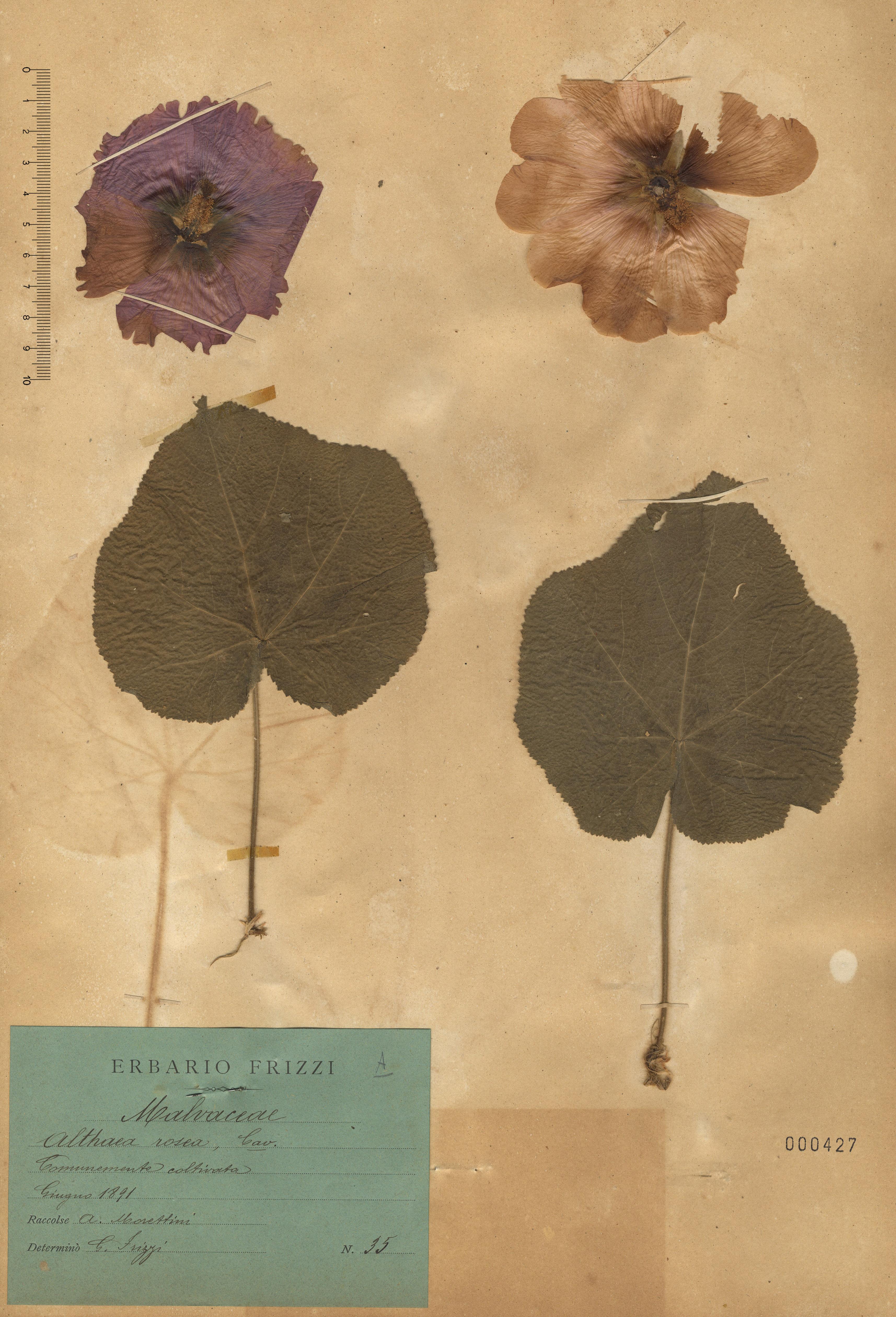 © Hortus Botanicus Catinensis - Herb. sheet 000427<br>