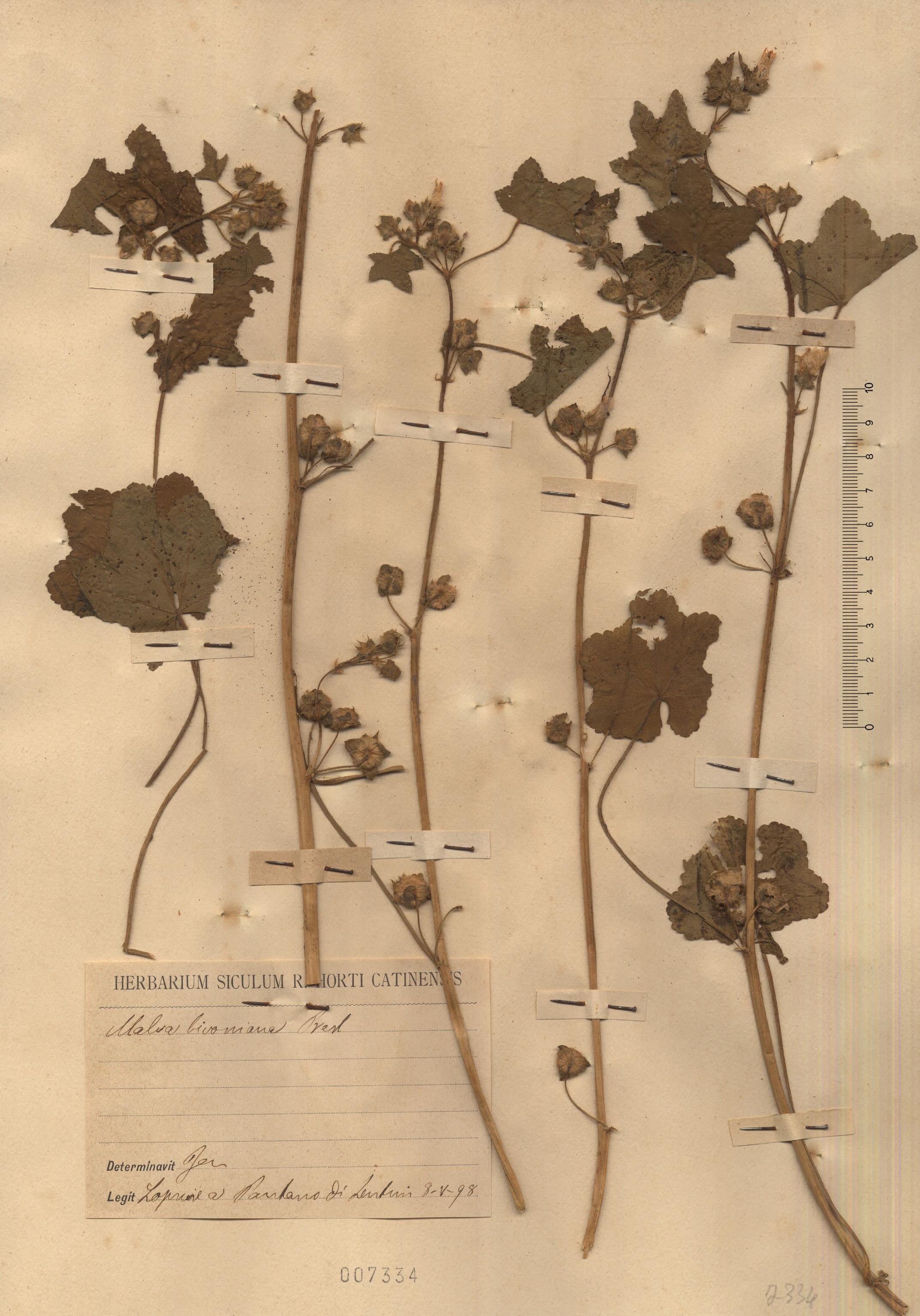 © Hortus Botanicus Catinensis - Herb. sheet 007334<br>