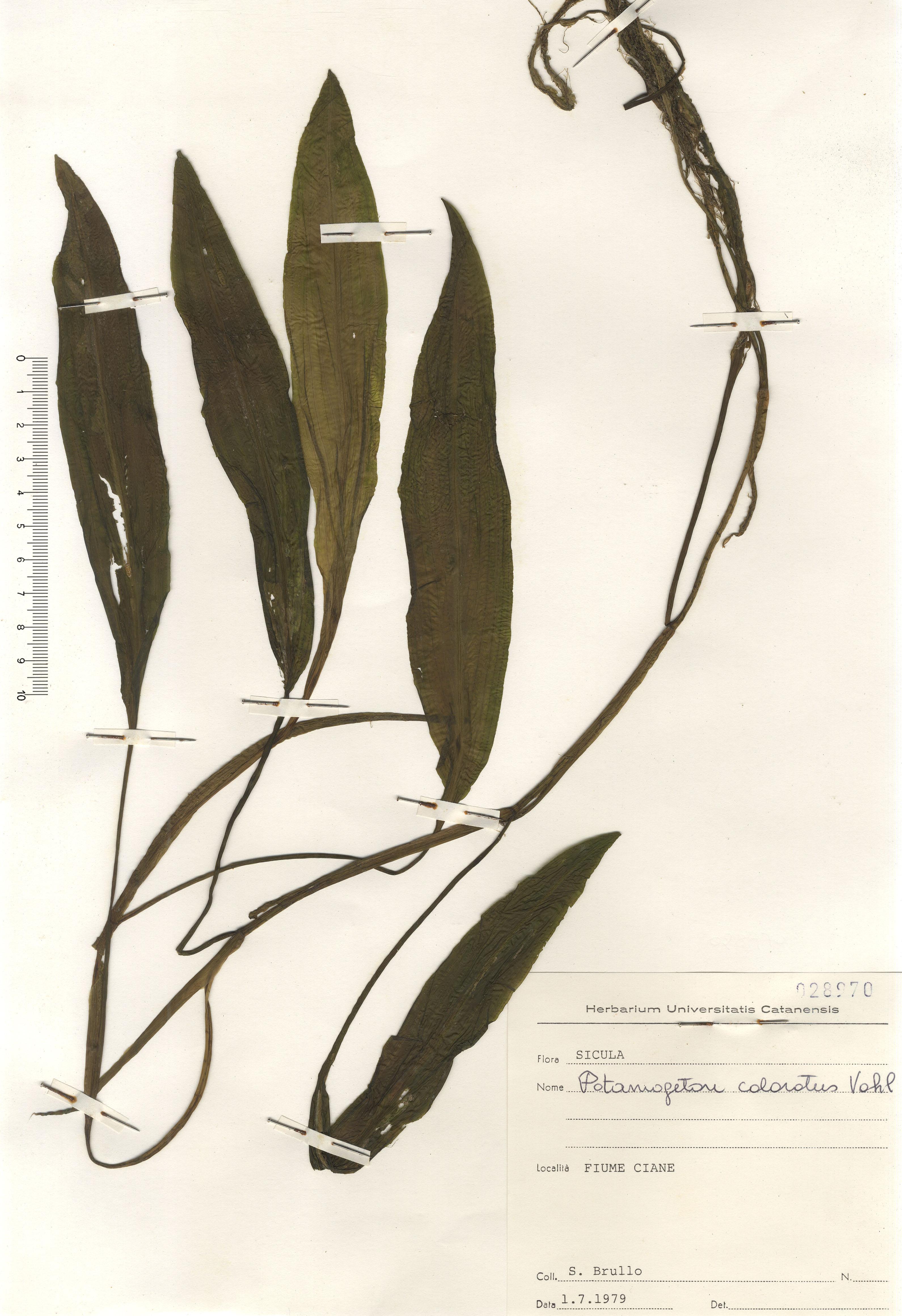 © Hortus Botanicus Catinensis - Herb. sheet 028960<br>