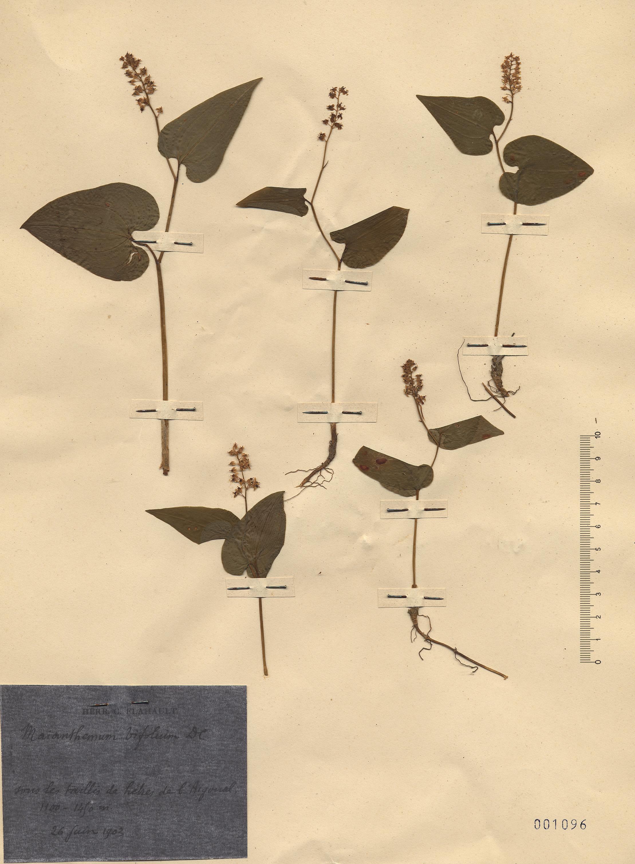© Hortus Botanicus Catinensis - Herb. sheet 001096<br>