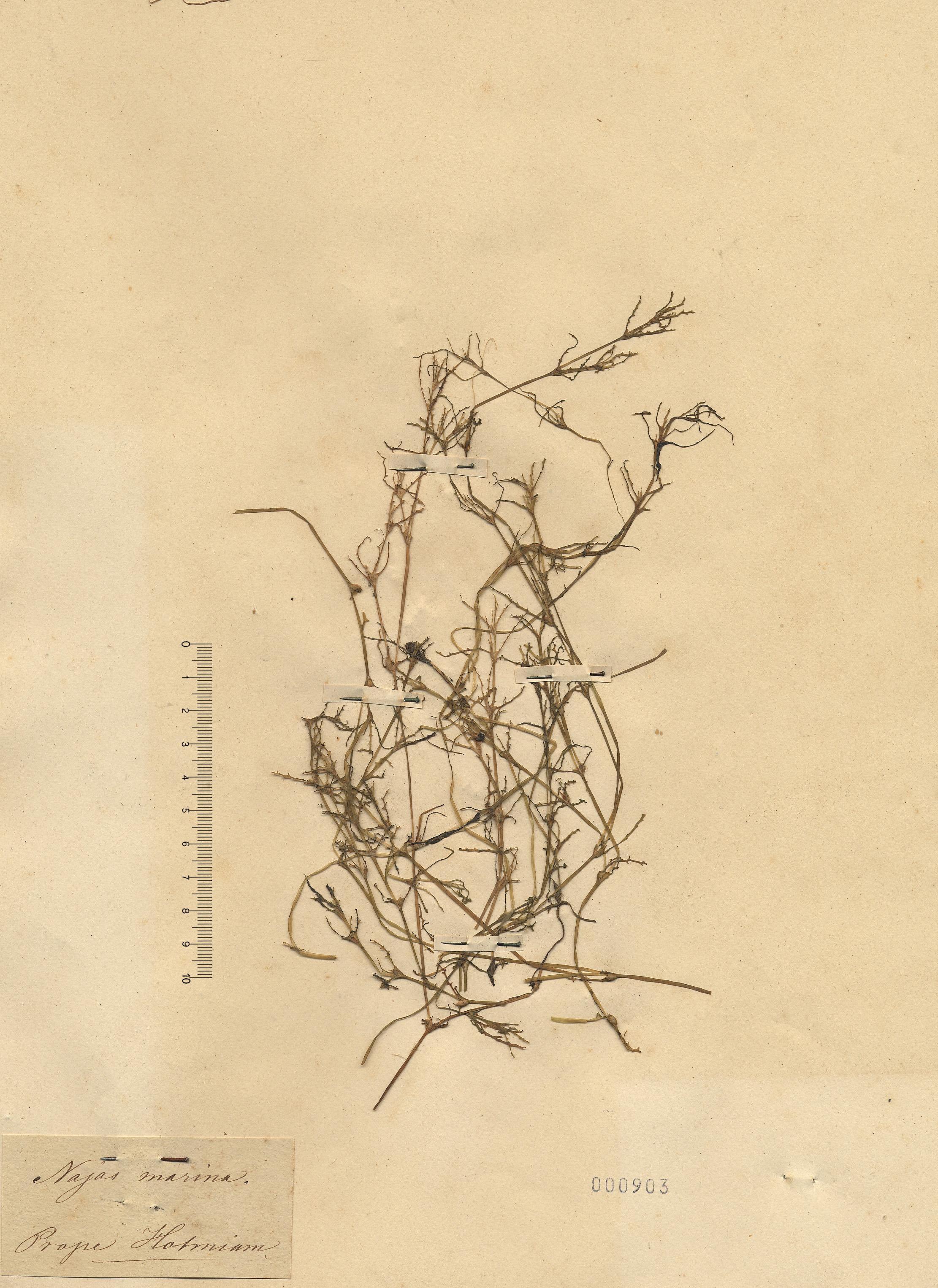 © Hortus Botanicus Catinensis - Herb. sheet 000903<br>