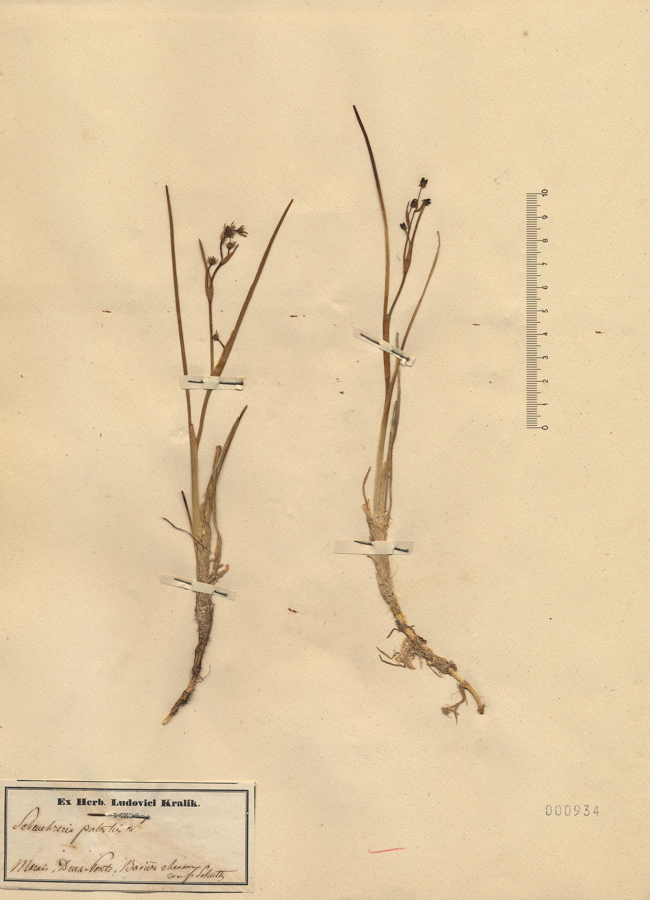 © Hortus Botanicus Catinensis - Herb. sheet 000934<br>