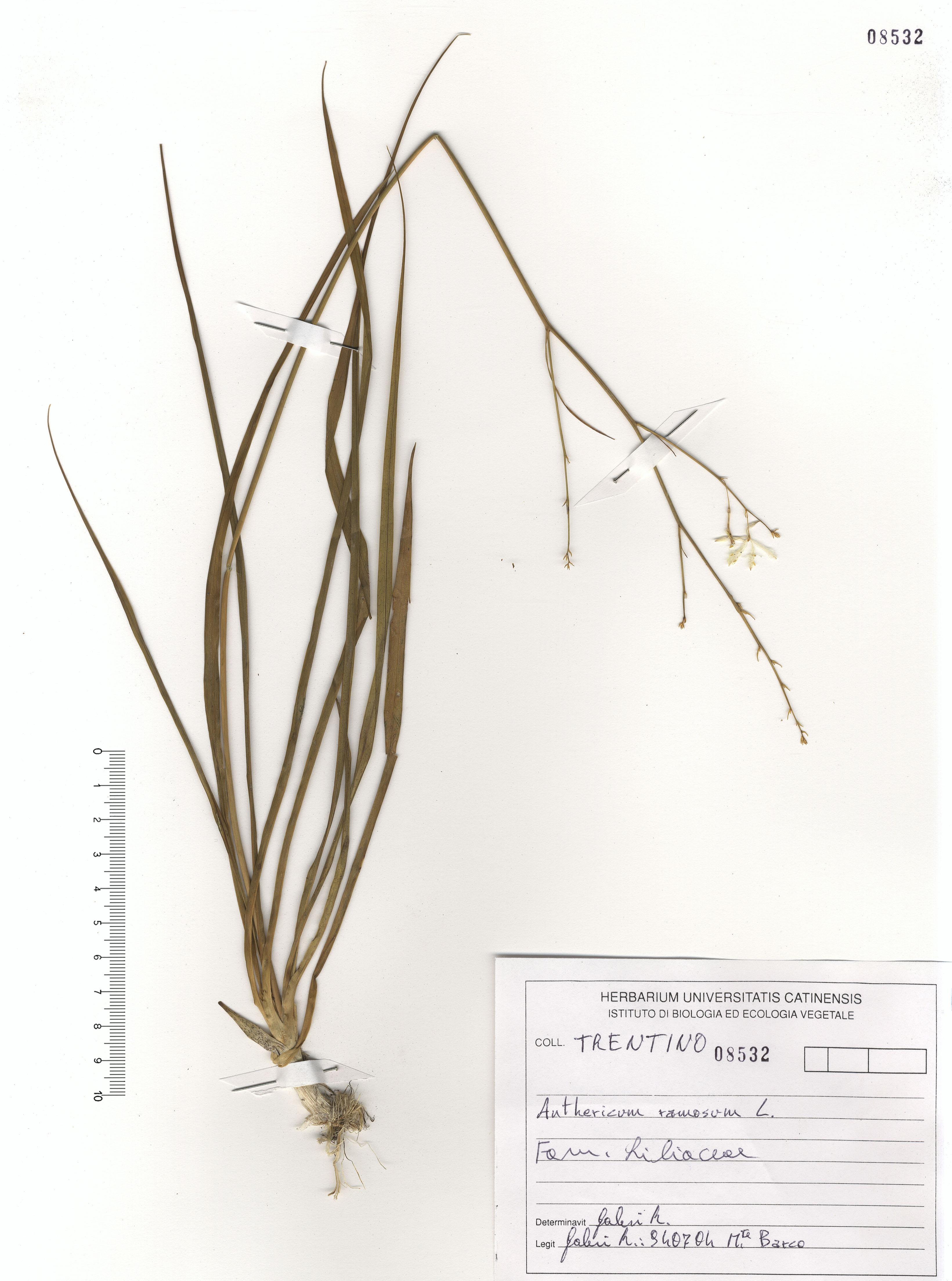© Hortus Botanicus Catinensis - Herb. sheet 108532<br>