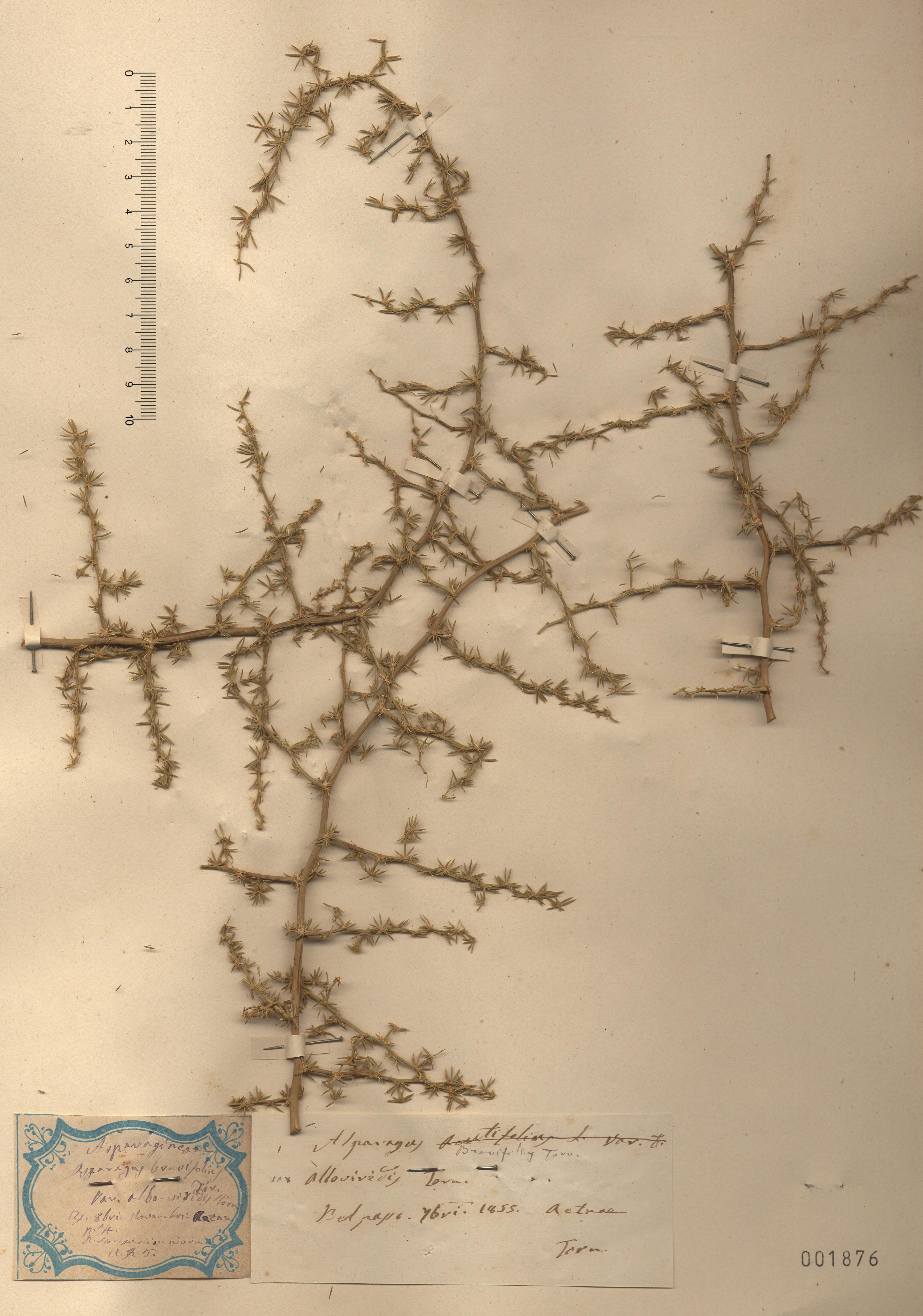 © Hortus Botanicus Catinensis - Herb. sheet 001876<br>
